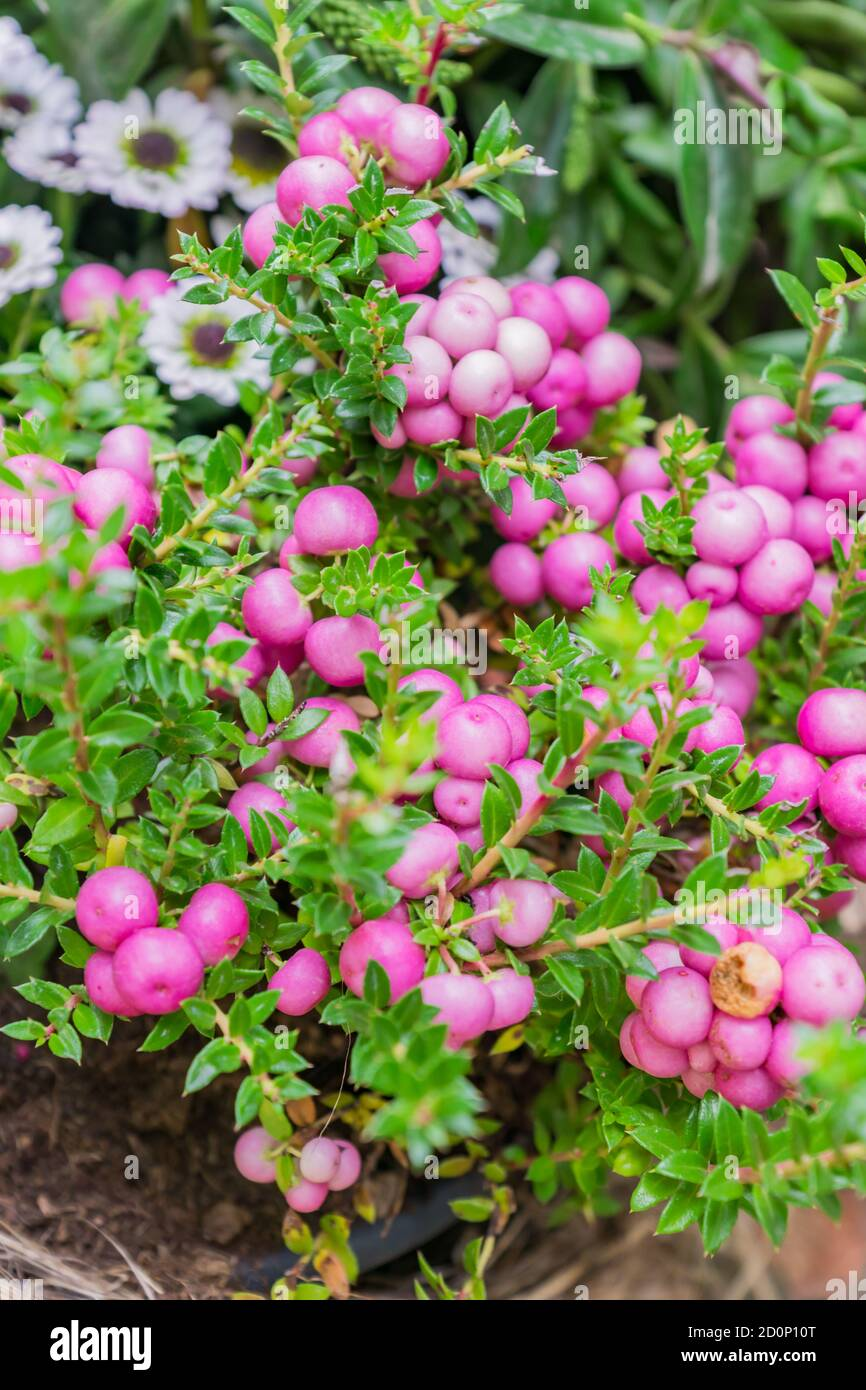Pernettya Blanc.Pernettya Mucronata Evergreen Shrub With Pink Berries Autumn Plant In Clay Flower Pot Stock Photo Alamy