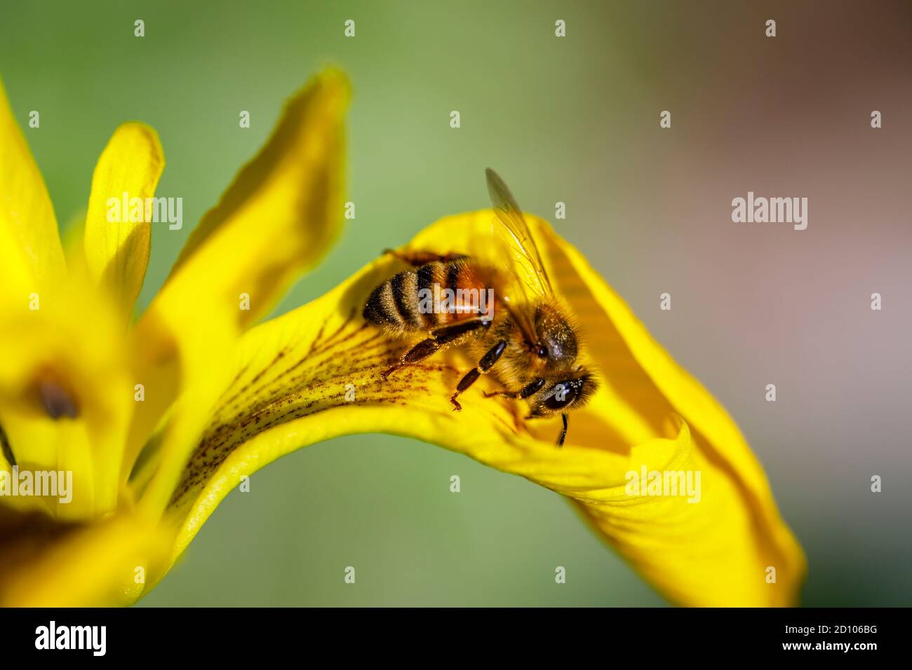 Honey Bee (worker) Apis mellifera on the damp-loving Iris pseudacorus, water flag, yellow flag or yellow iris, in flower in late spring / early summer Stock Photo