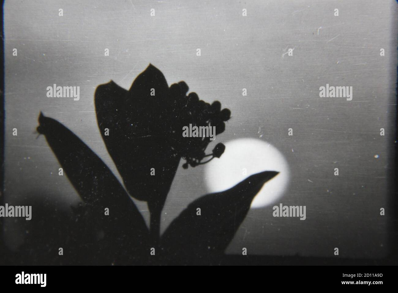 Fine 1970s vintage black and white photography of the sun setting behind a flower in full bloom. Stock Photo
