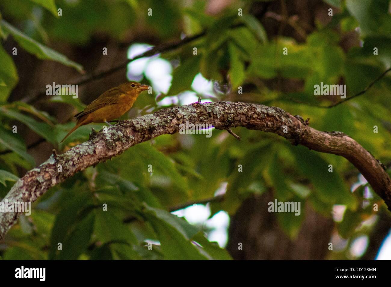 Female summer tanager feeding in backyard in Joplin, MO Stock Photo