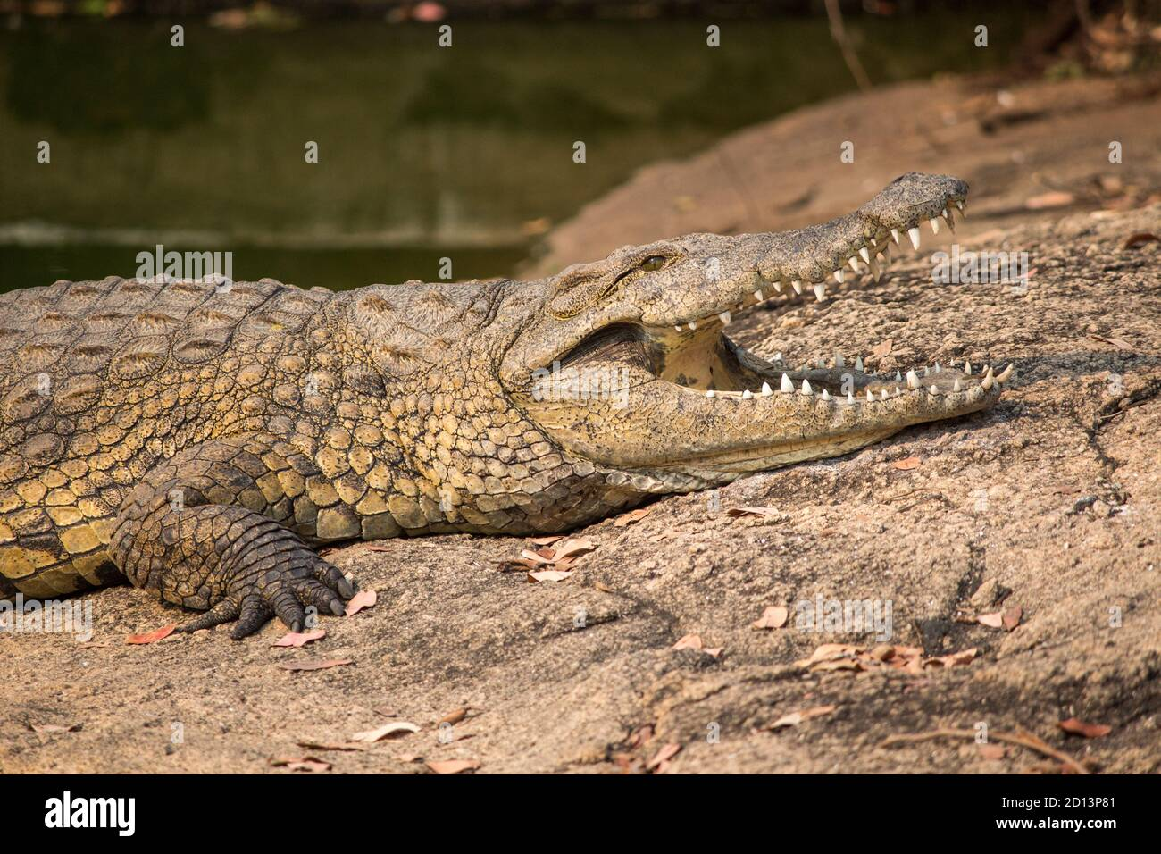 Nile crocodile (Crocodylus niloticus) basking with open mouth in the bank of Messica river stream in Manica, Mozambique near Zimbabwe border Stock Photo