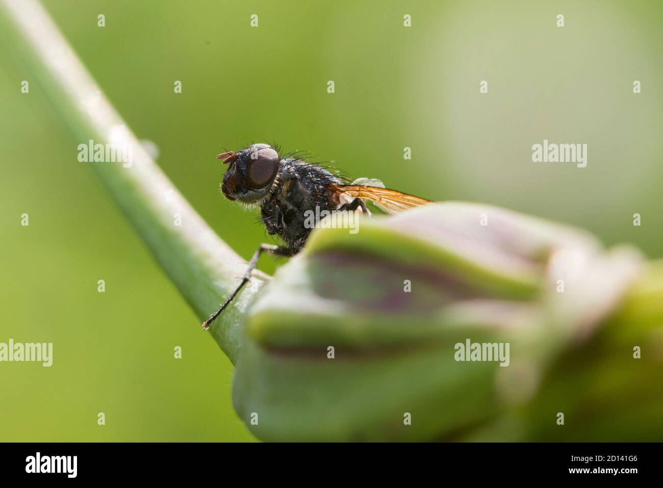 Tachinid fly perched on a green leaf Stock Photo