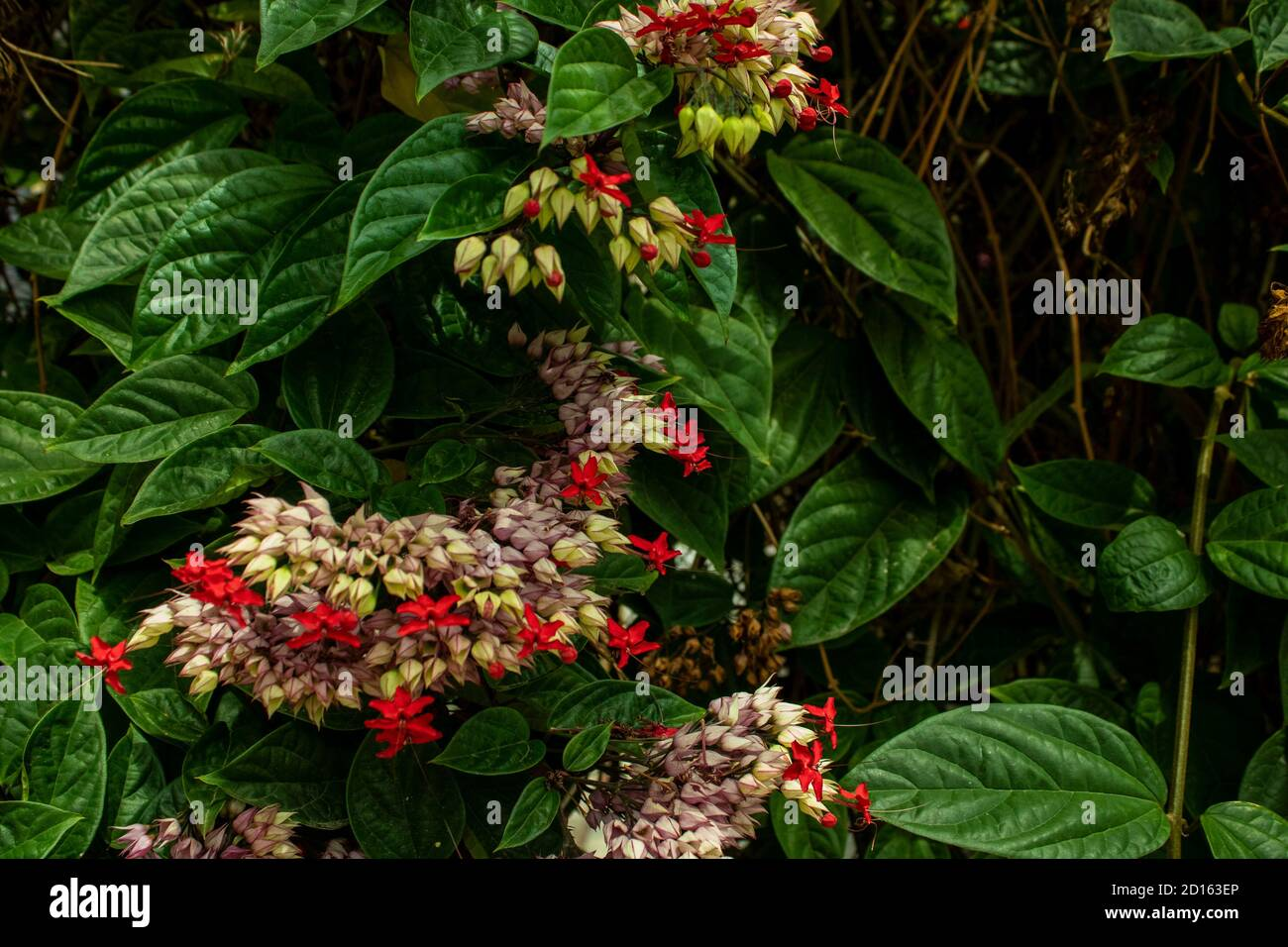 Milkweed - Asclepias Currassavica  red flowers with purple tones lilas pink and white tropical, wild and wild exotic, small flowers grouped Stock Photo