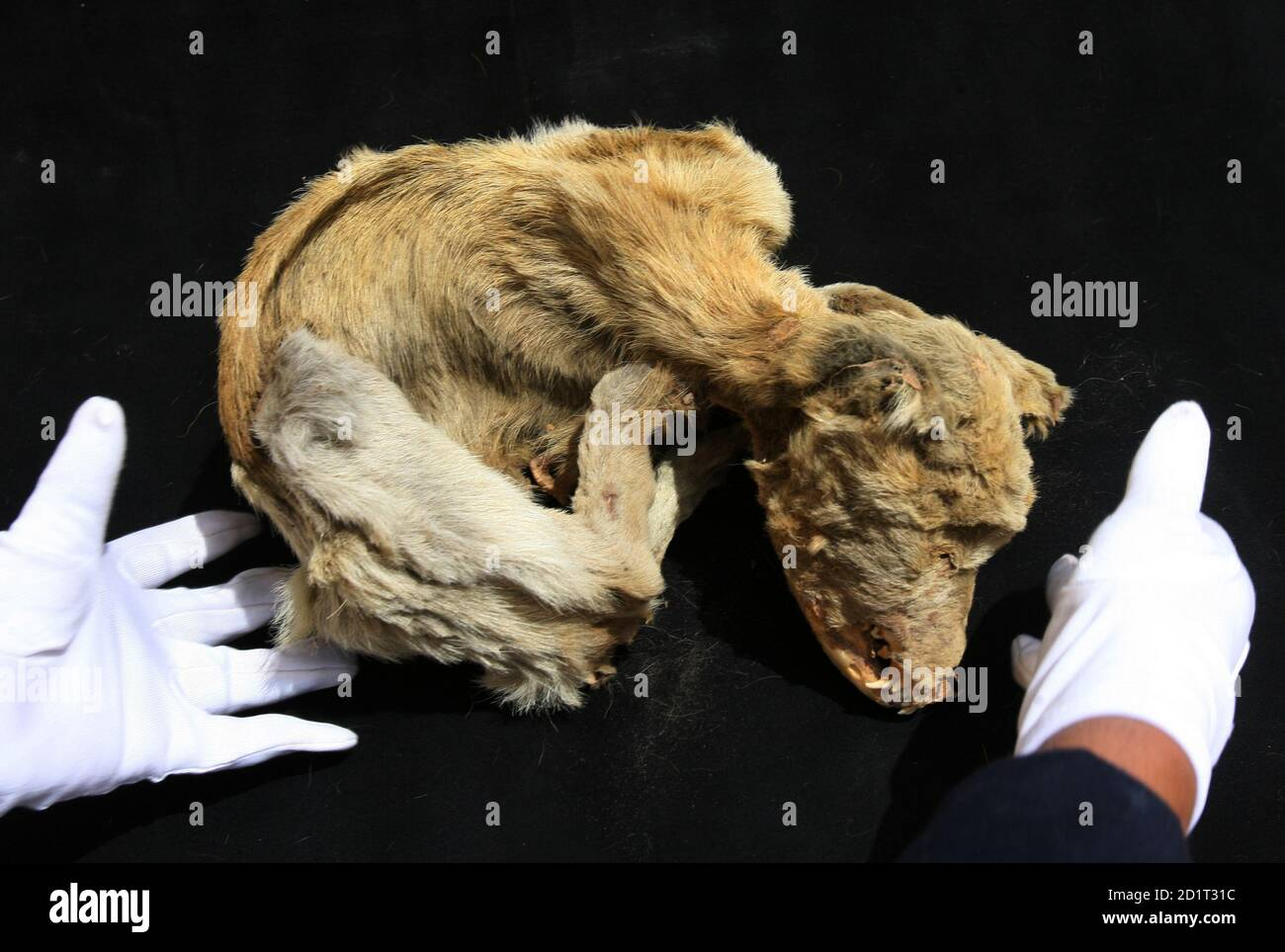 Mummy Dogs High Resolution Stock Photography And Images Alamy How to keep a mummy. https www alamy com a museum worker moves the mummy of a dog dating from between 1100 and 1300 from the chiribaya culture at el algarrobal museum near the port of ilo in southern peru september 12 2006 the dogs which helped in herding llamas in the pre hispanic culture that predated the incas were given special treatment when they died their mummified bodies were given their own burial with food and blankets to keep them warm in the afterlife reutersmariana bazo peru image379771992 html