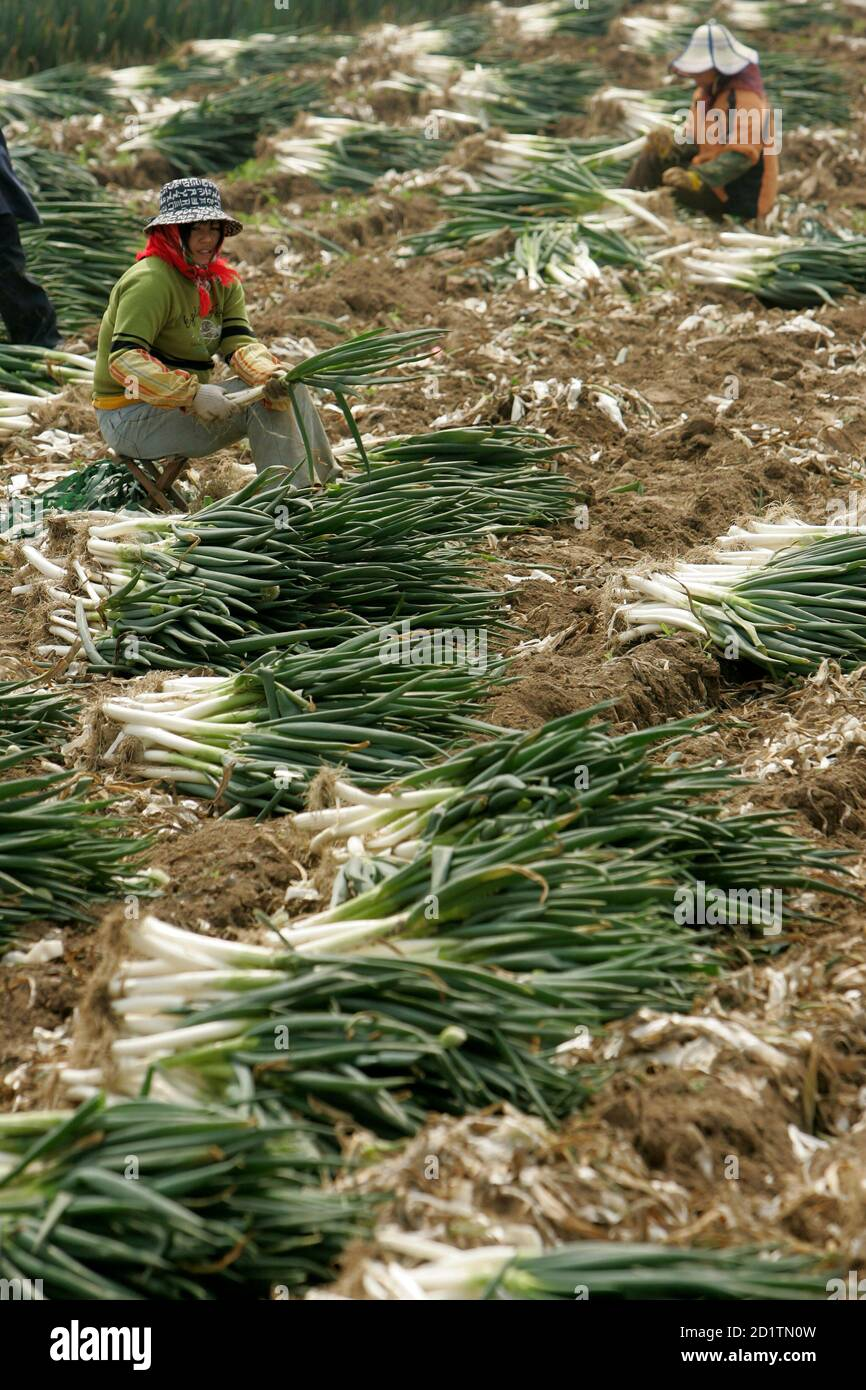 Farmers harvest shallots near Pudong International Airport in Nanhui district on the outskirts of Shanghai April 7, 2008. China will offer farmers more favourable treatment to encourage them to sow crops so as to guarantee grain reserves and ease inflationary pressures, Premier Wen Jiabao said in comments published on Sunday. REUTERS/Aly Song (CHINA) Stock Photo