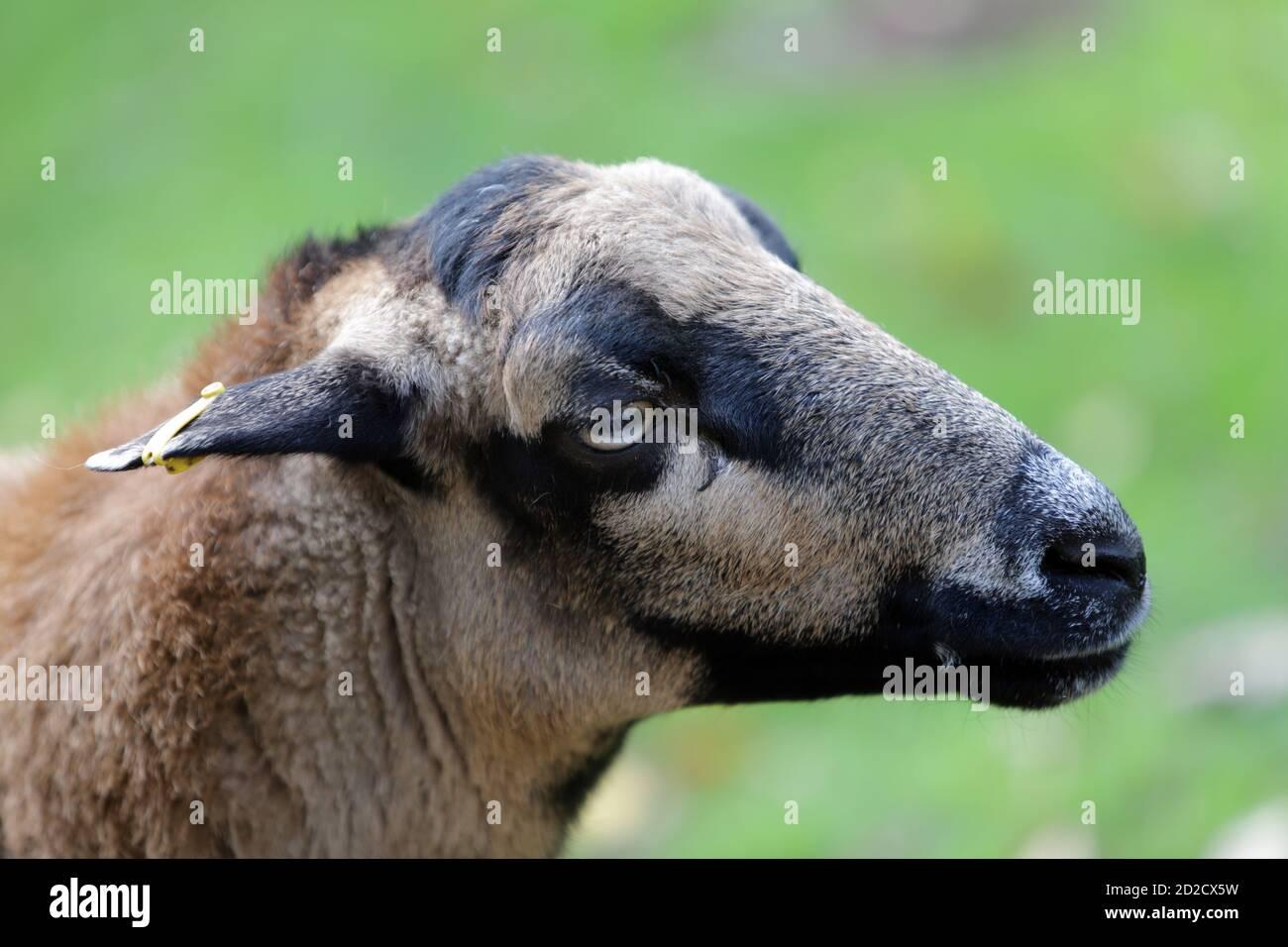 Kamerunschaf (Ovis ammon aries) im Wildpark, Mechernich, Nordrhein-Westfalen, Deutschland Stock Photo