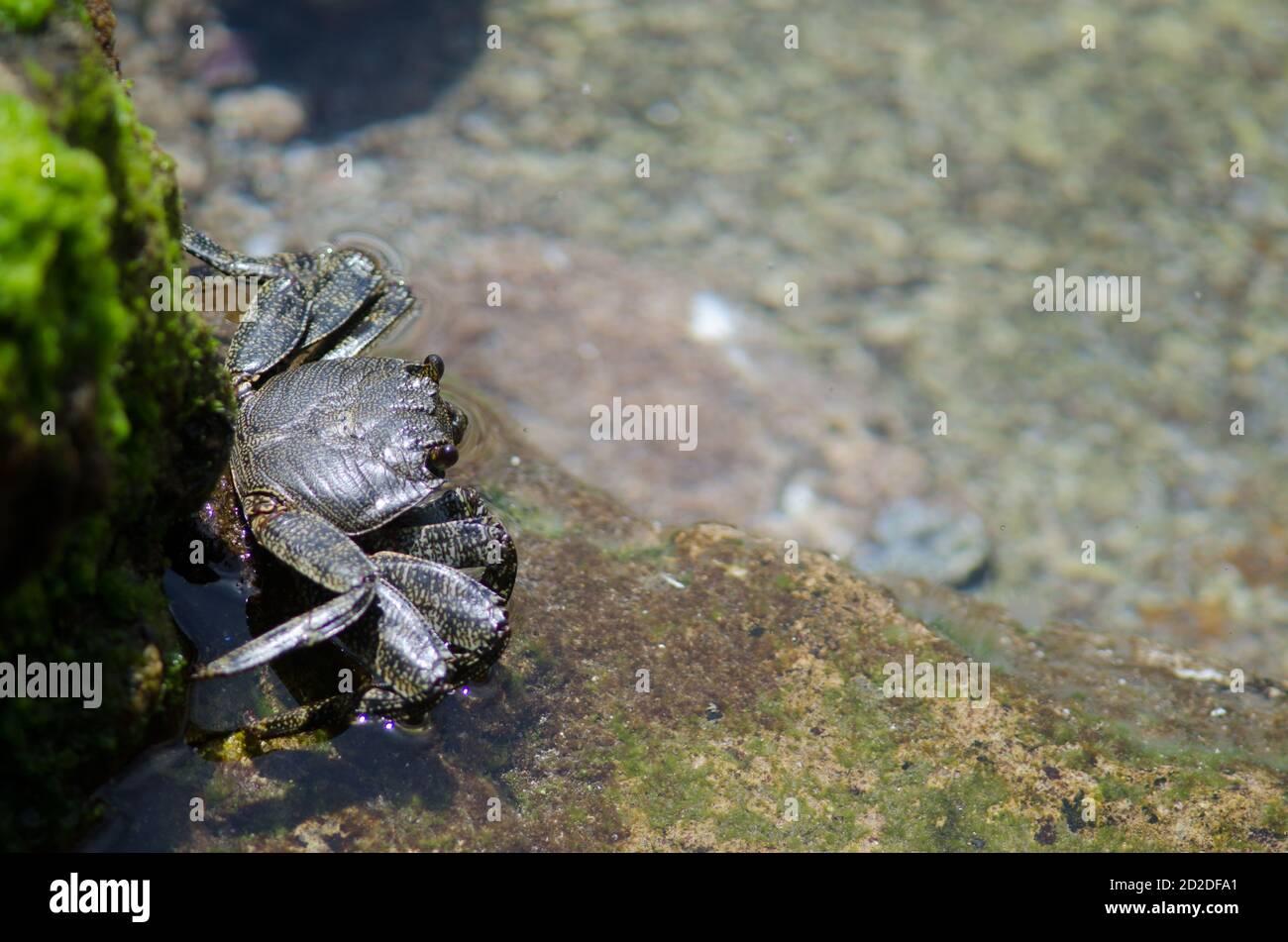 Rock crab Grapsus adscensionis in Arinaga. Aguimes. Gran Canaria. Canary Islands. Spain. Stock Photo