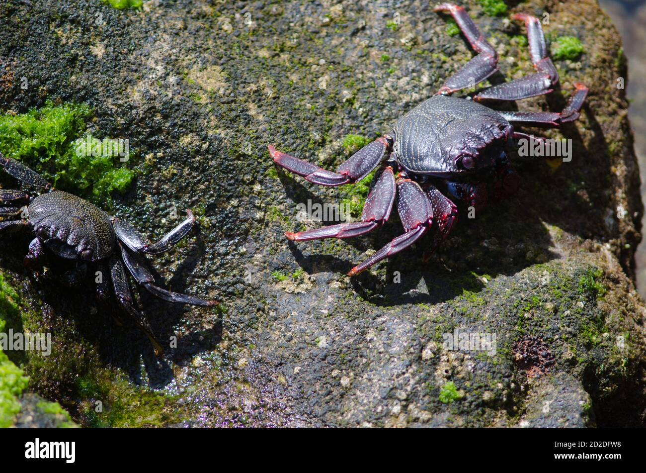 Rock crabs Grapsus adscensionis in Arinaga. Aguimes. Gran Canaria. Canary Islands. Spain. Stock Photo