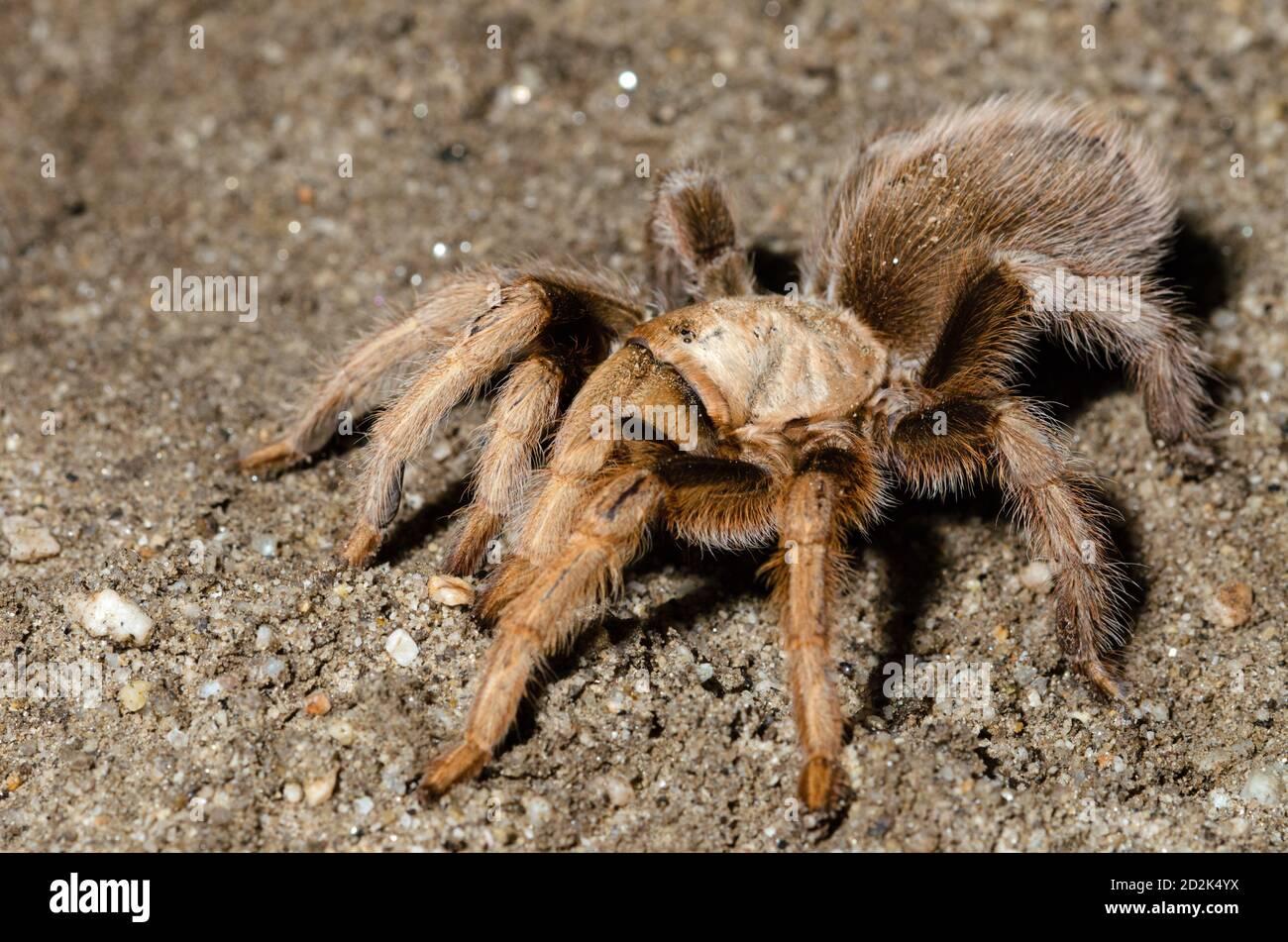 Desert Tarantula Aphonopelma Chalcodes Stock Photo Alamy