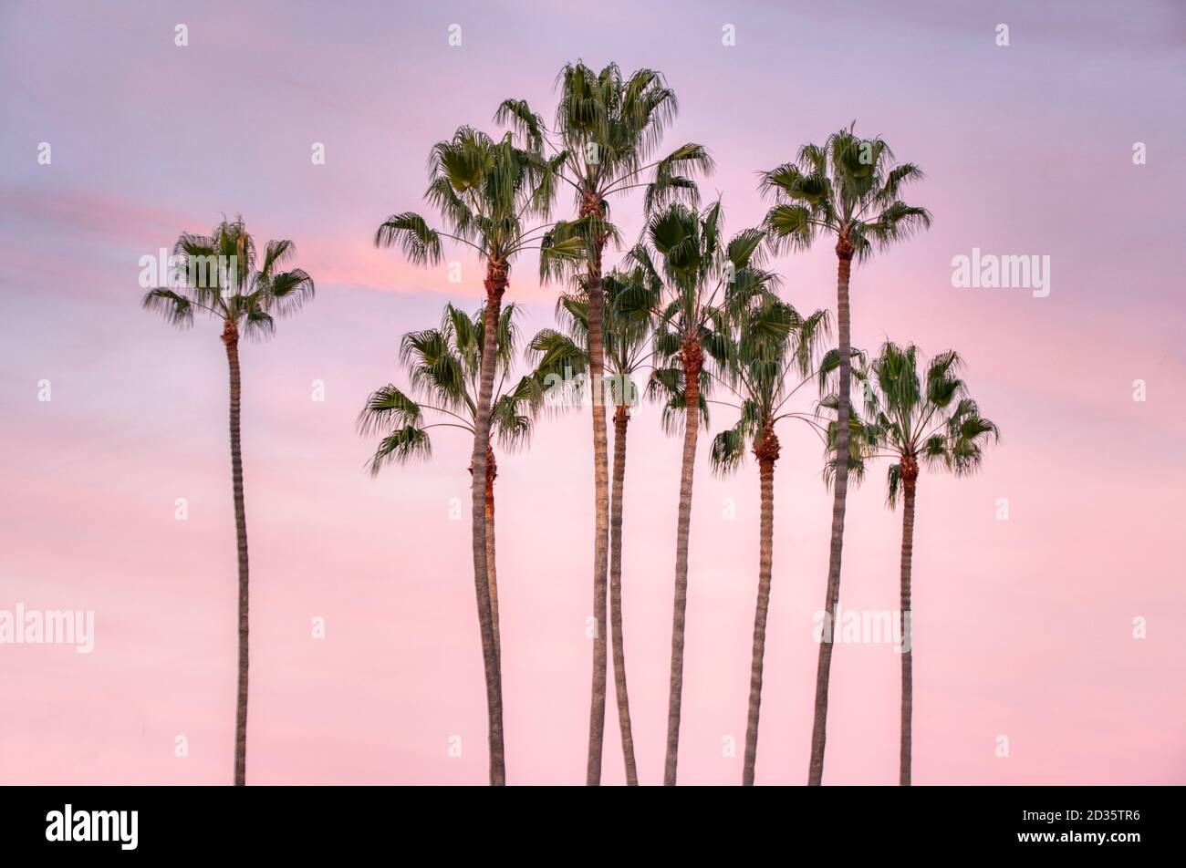 Attalea Speciosa High Resolution Stock Photography And Images Alamy Babassu palm, (attalea martiana, a. https www alamy com a low angle shot of attalea speciosa trees with sunset in the background image380601290 html