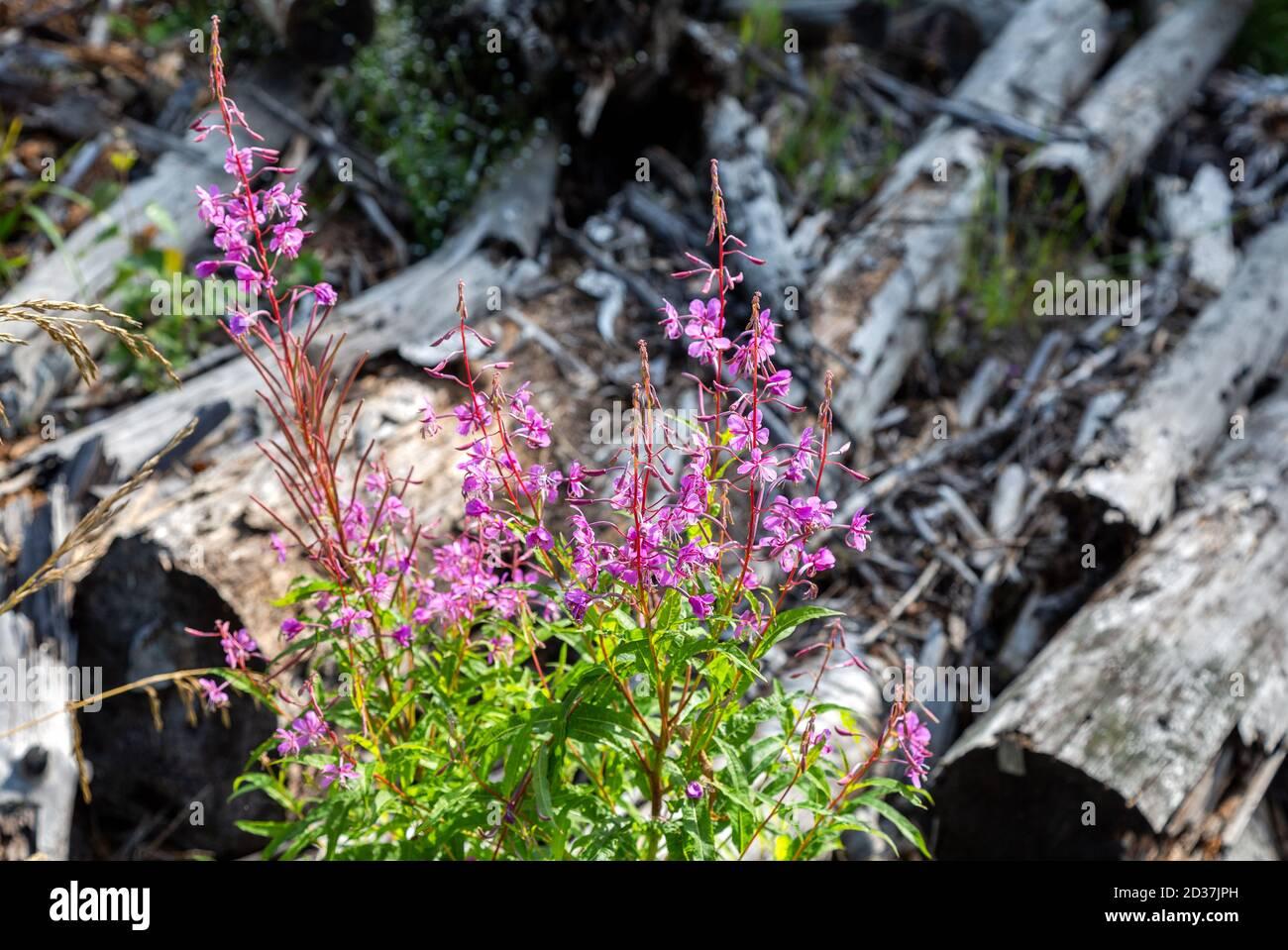 Purple Alpine fireweed. Pink-flowered Epilobium angustifolium blossom close-up. Willowherb in summer day Stock Photo