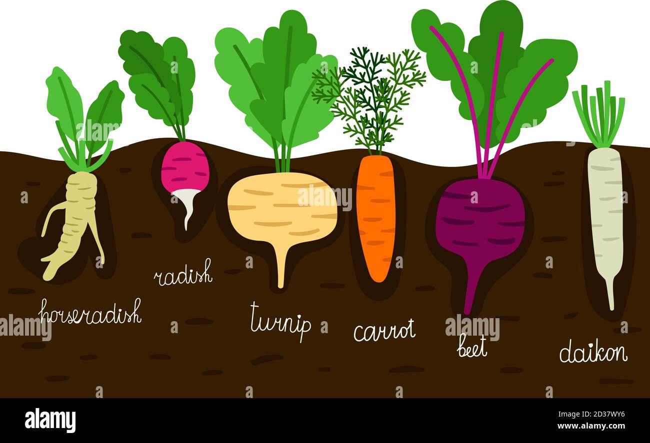 Vegetables Garden Growing Vegetable Gardening With Roots In Ground Vector Illustration Horseradish And Daikon Beet And Turnip Radish And Beetroot Stock Vector Image Art Alamy