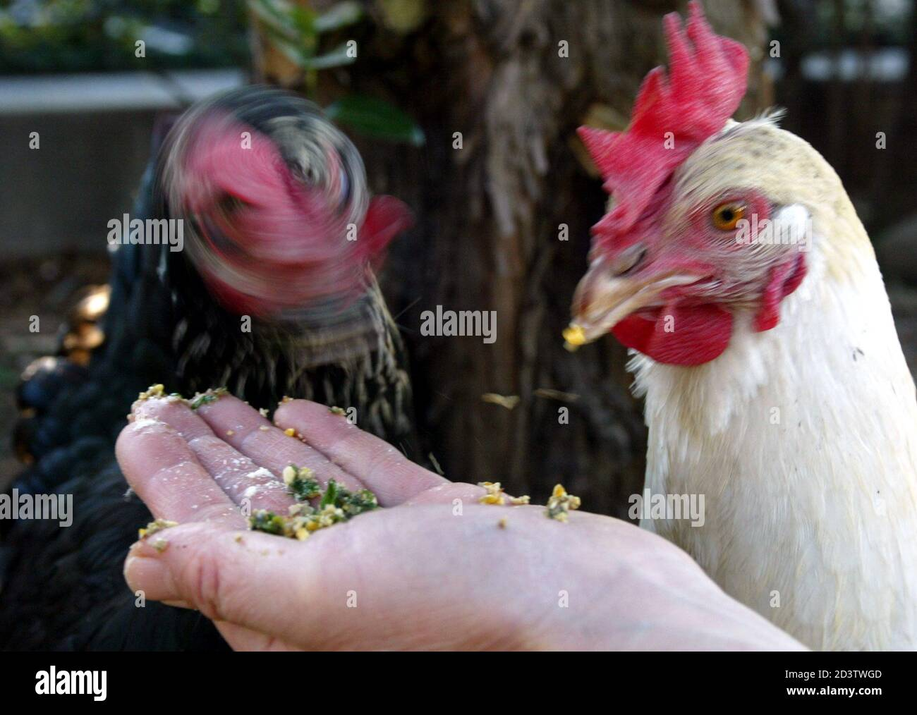 Chickens Eat Feed Mixture At Kanagawa Livestock Hygiene Station In Atsugi West Of Tokyo February 12 2004 Japan Has Largely Escaped The Effects Of The Deadly Avian Flu Virus That Has Wreaked