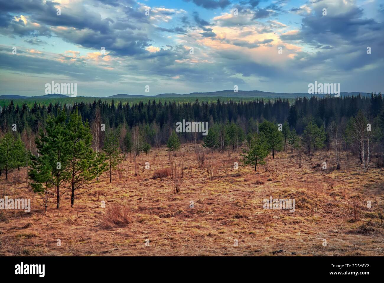 Early spring landscape in a young spruce forest. Green young fir in the forest against the background of blue sky and clouds. Stock Photo