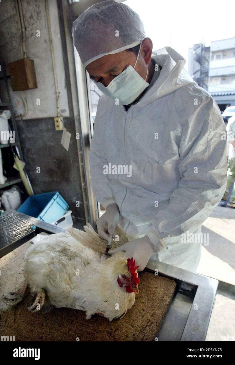 Kanagawa Livestock Hygiene Station Deputy Director Shigeru Hagiwara Draws Blood From A Female Chicken For Testing For Diseases At The Kanagawa Livestock Hygiene Station In Atsugi West Of Tokyo February 12 2004