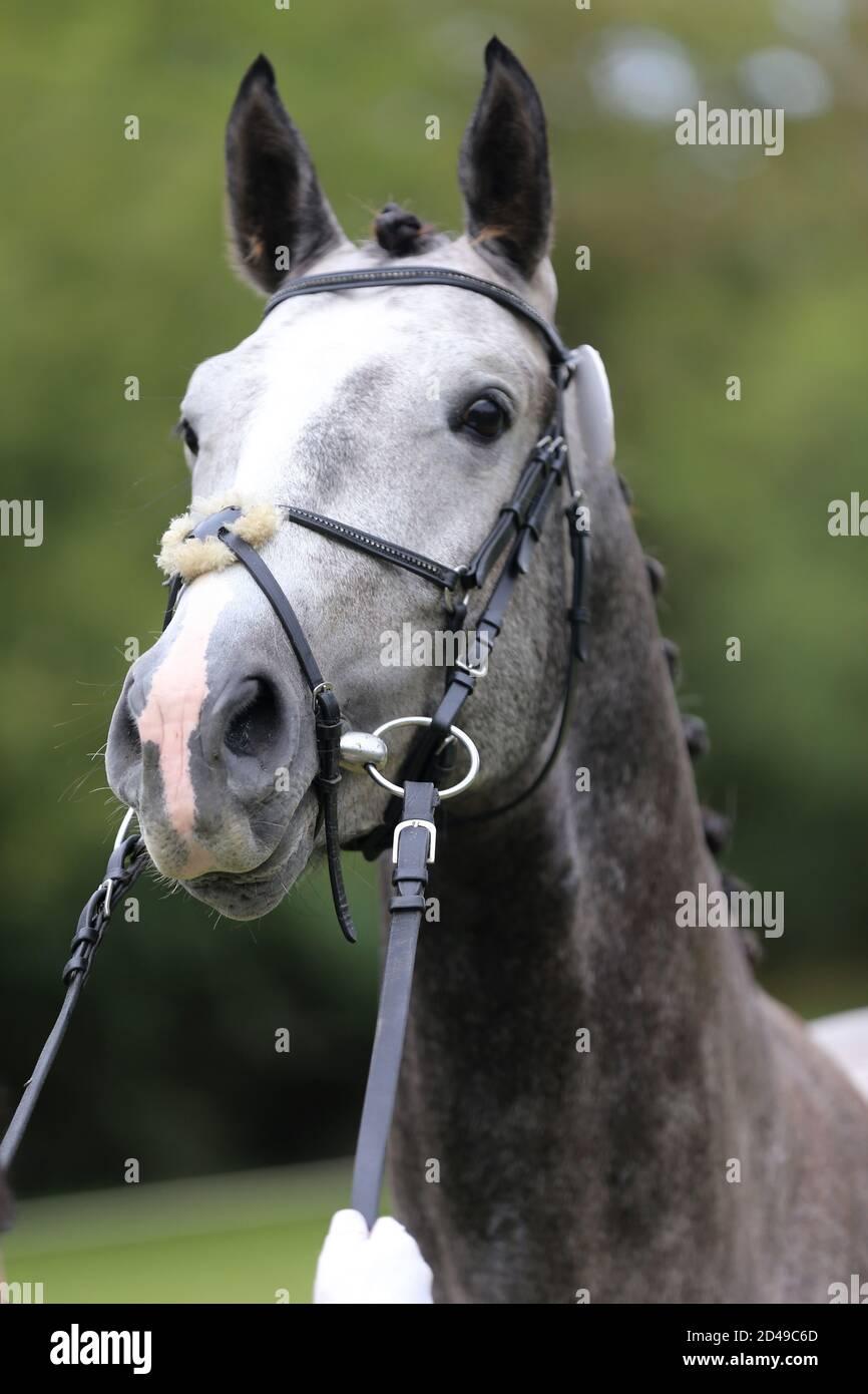 Beautiful Face Of A Purebred Horse Portrait Of Beautiful Stallion A Head Shot Of A Single Horse Horse Head Close Up Portrait On Breeding Test Summe Stock Photo Alamy