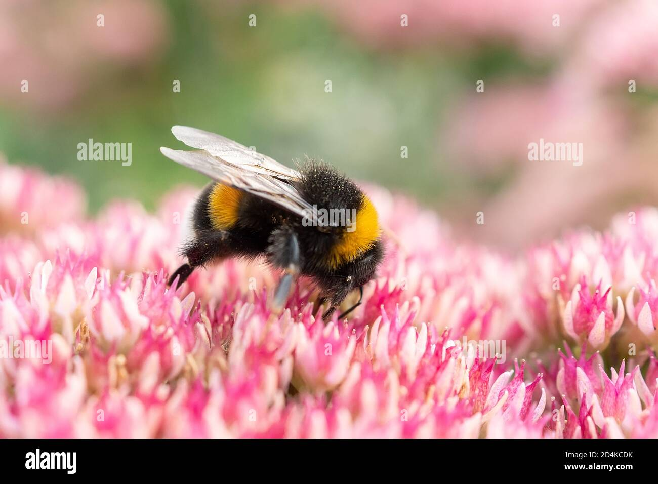 Macro photography of a bumblebee feeding from a red clover flower. Stock Photo