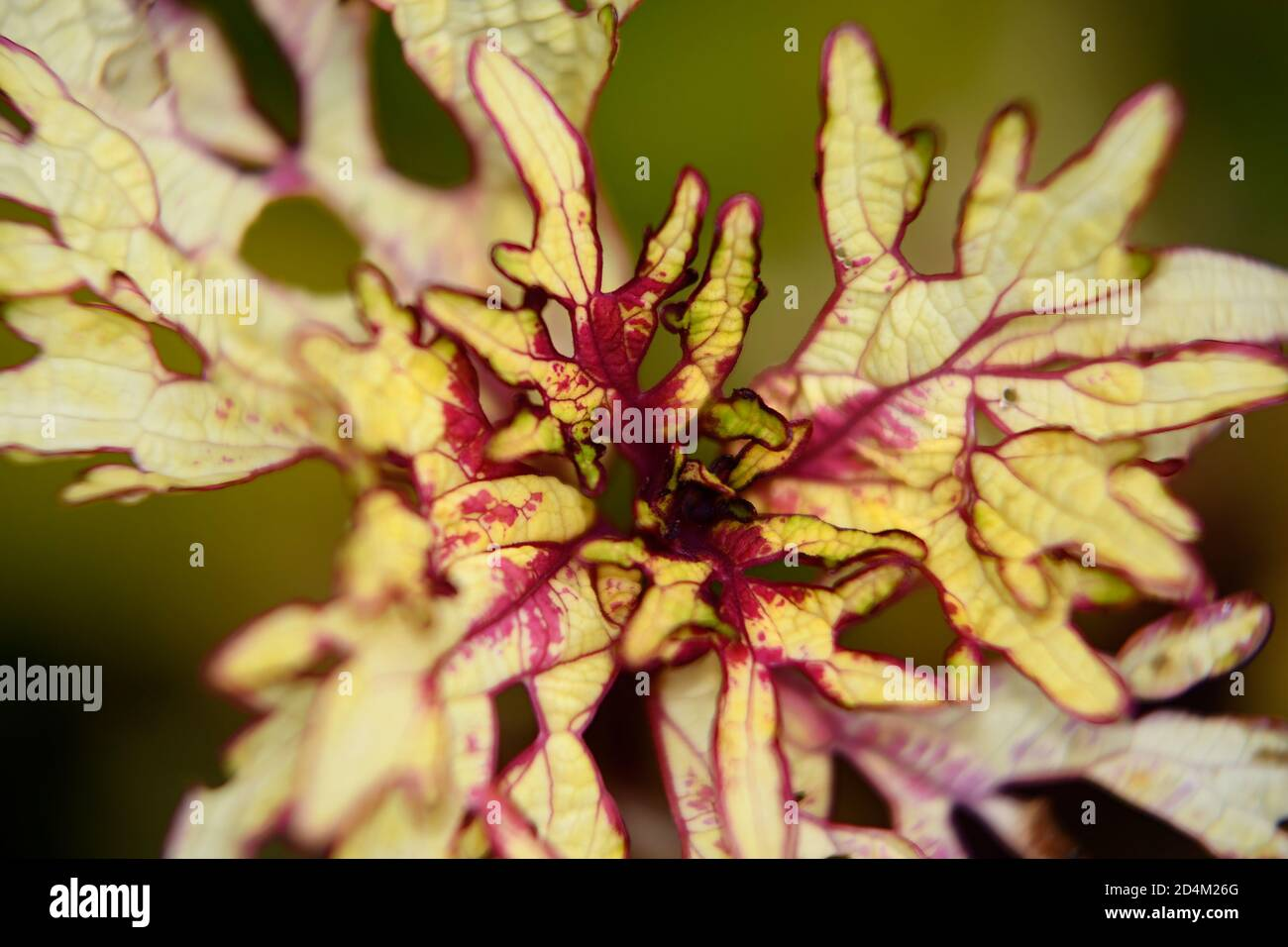 macro of yellow and red foliage of a Coleus plant Stock Photo