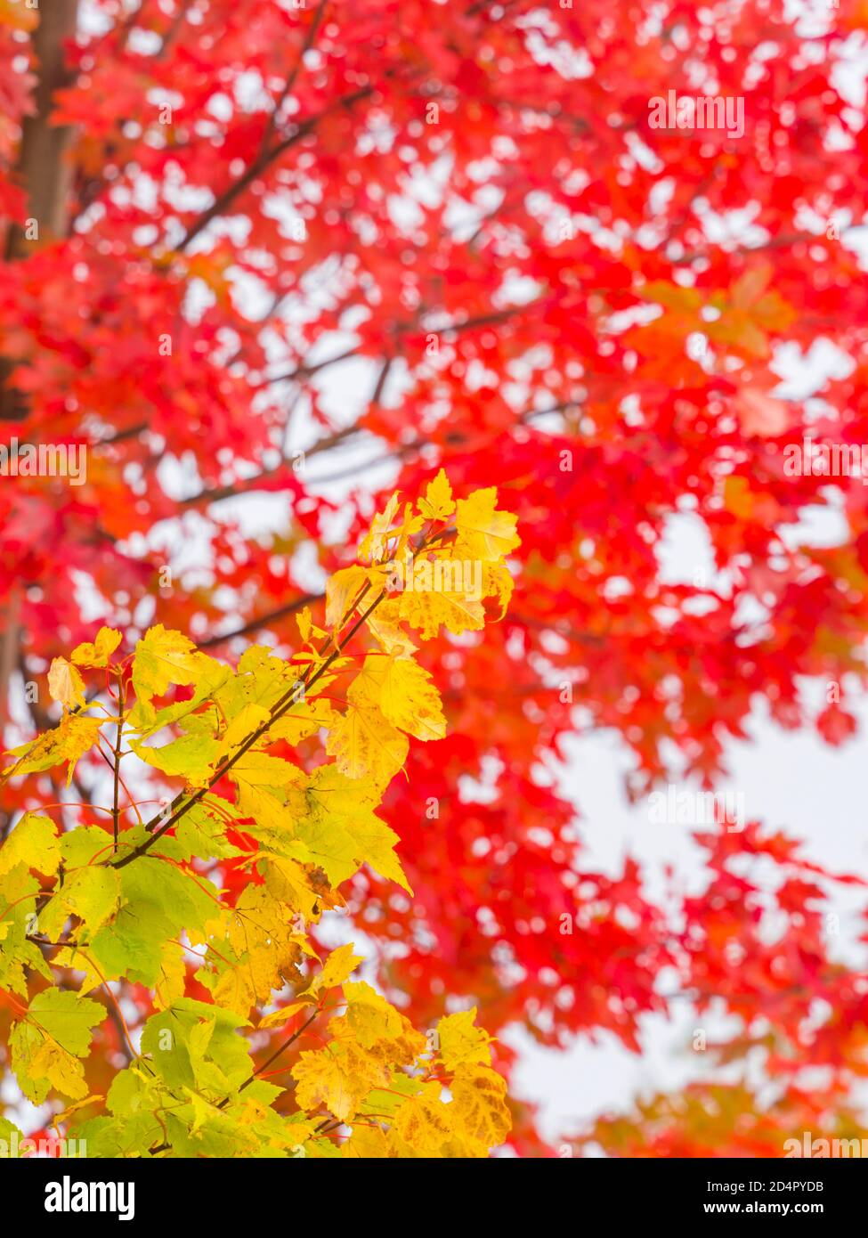 Intensive Red Green vivid color colored leaves Fall Autumn season seasonal trees tree branch branches nature natural environment Stock Photo