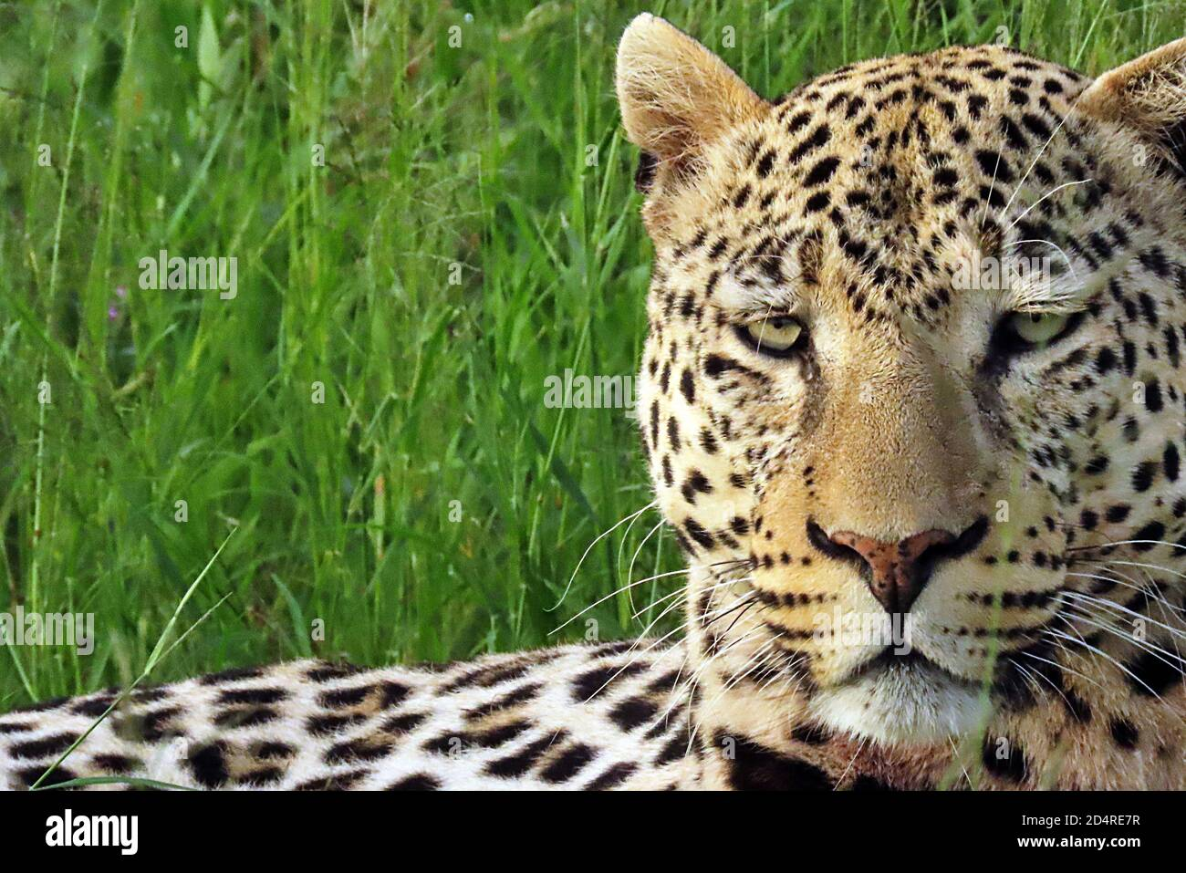 An African Leopard (Panthera pardus) hiding in grass at Okonjima, Otjozondjupa Region, Namibia. Stock Photo