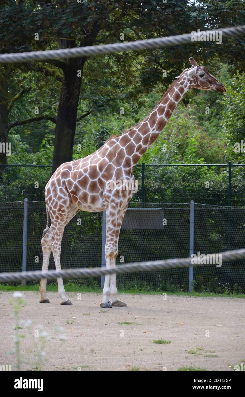 Reticulated Somali giraffes in the zoo Stock Photo