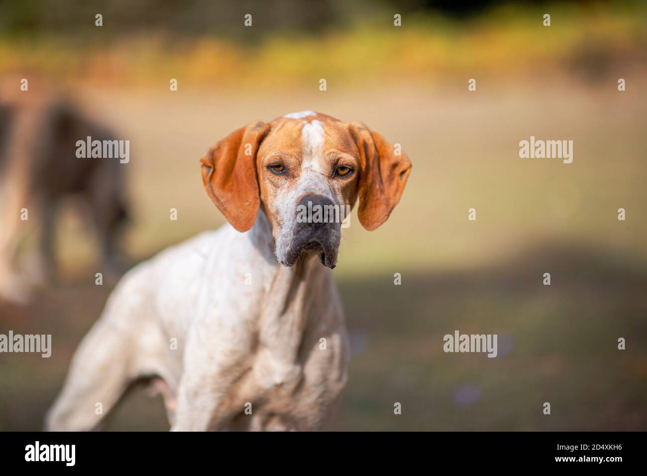 Portrait of a pointer dog looking to the camera and it is focused, autumn season in a forest Stock Photo