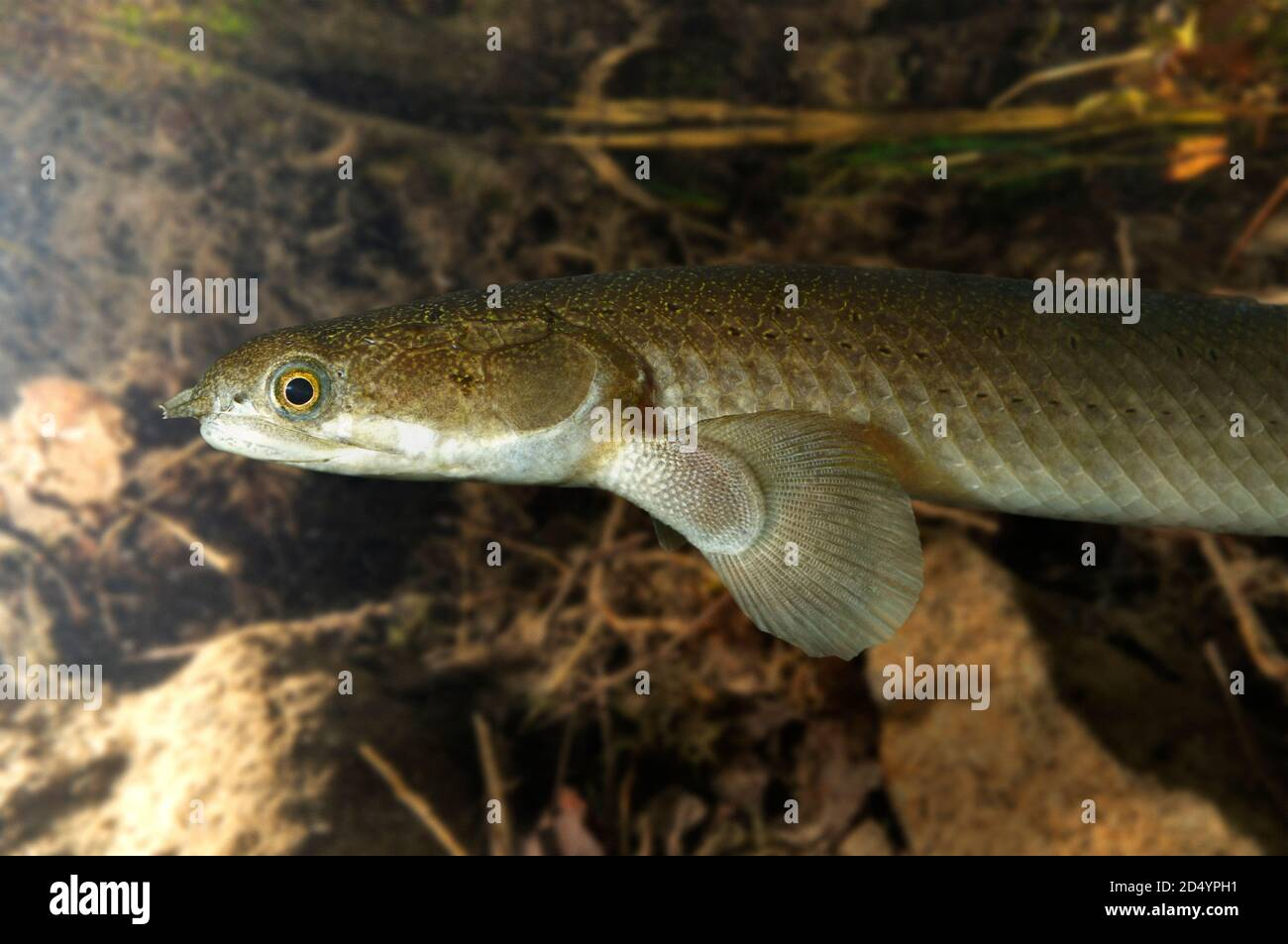Polypterus Fish High Resolution Stock Photography And Images Alamy