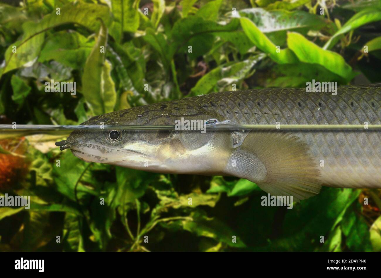 Bichirs High Resolution Stock Photography And Images Alamy