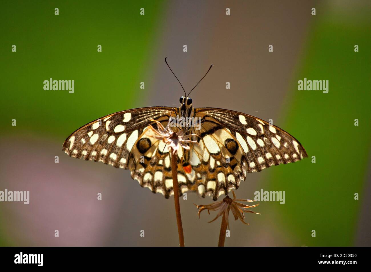 Lime butterfly,Papilio demoleus is a common and widespread swallowtail butterfly. The butterfly is also known as the lime butterfly, lemon butterfly, Stock Photo