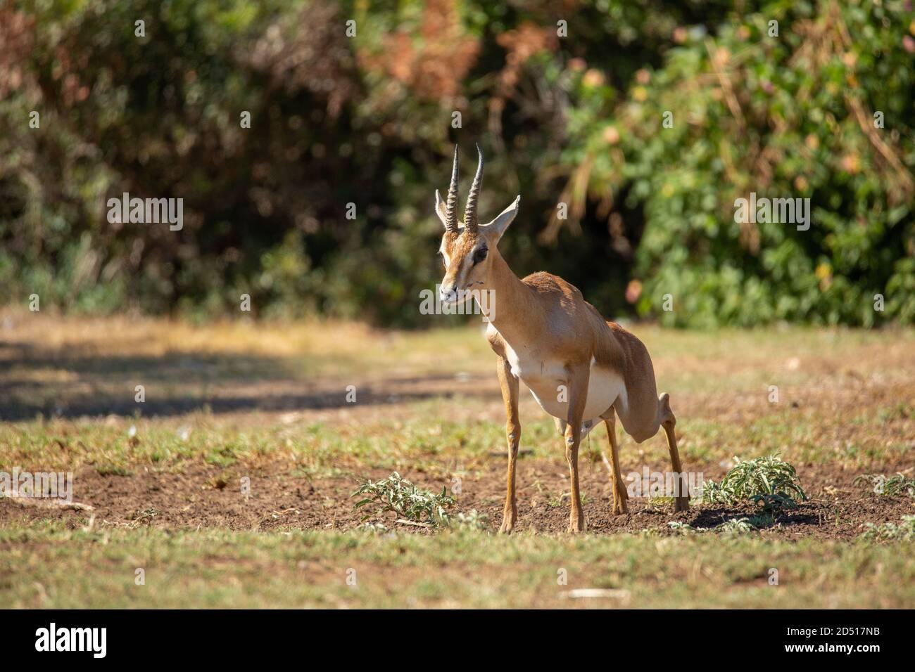 The mountain gazelle or the Palestine mountain gazelle (Gazella ...