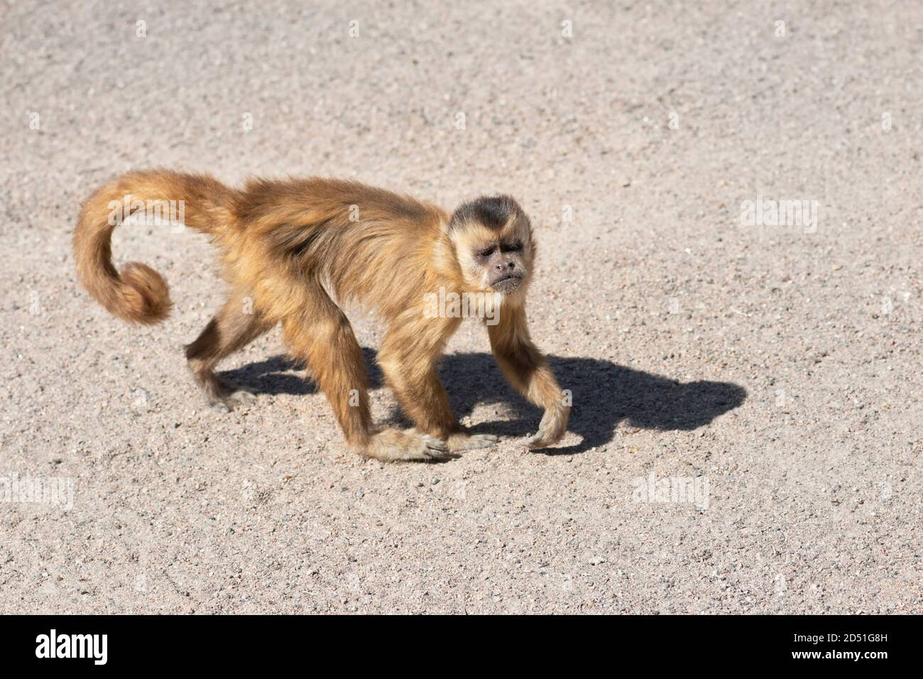 Capuchin monkey in zoo close up. The capuchin monkeys are New World monkeys of the subfamily Cebinae. Stock Photo