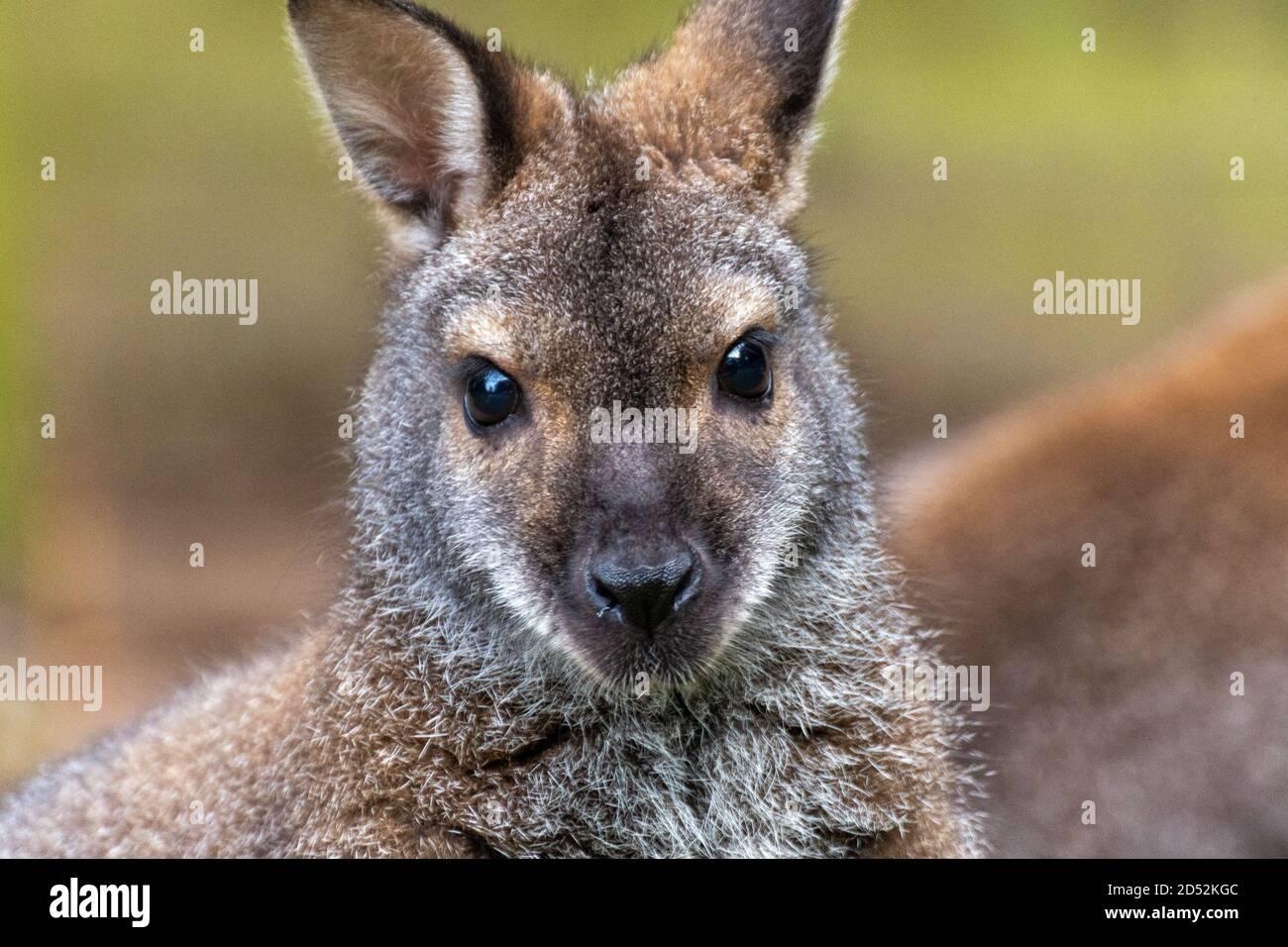 Close up of the head of a Bennett kangaroo Stock Photo