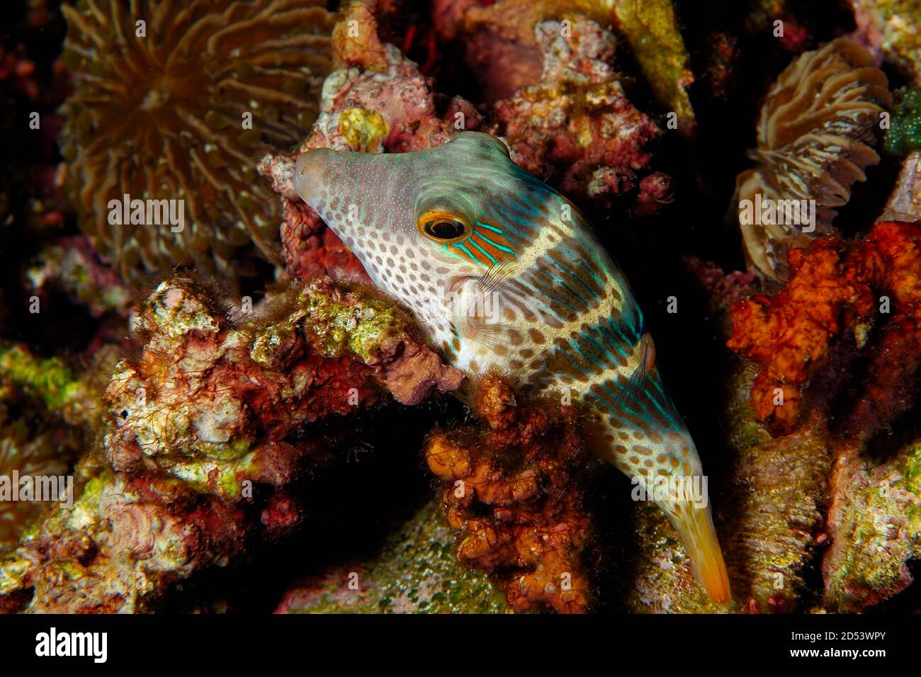 Black-Saddled Toby, 'Canthigaster valentini', Sleeping On Corals Lembeh, Manado, North Sulawesi, Indonesia Stock Photo