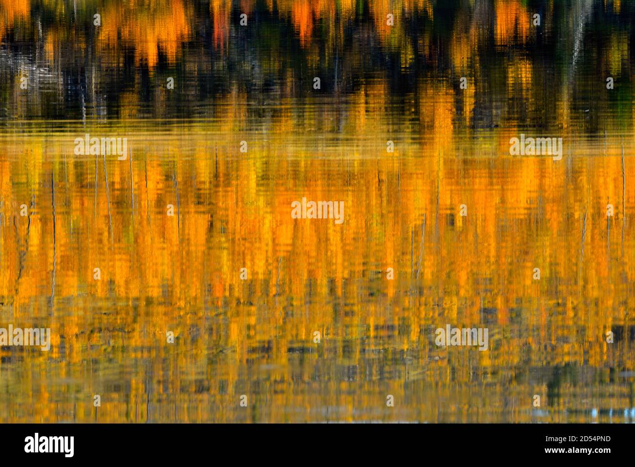 An abstract natural reflection of the fall colors on the trees on the lake shore of Talbot lake in Jasper National Park in Alberta Canada. Stock Photo