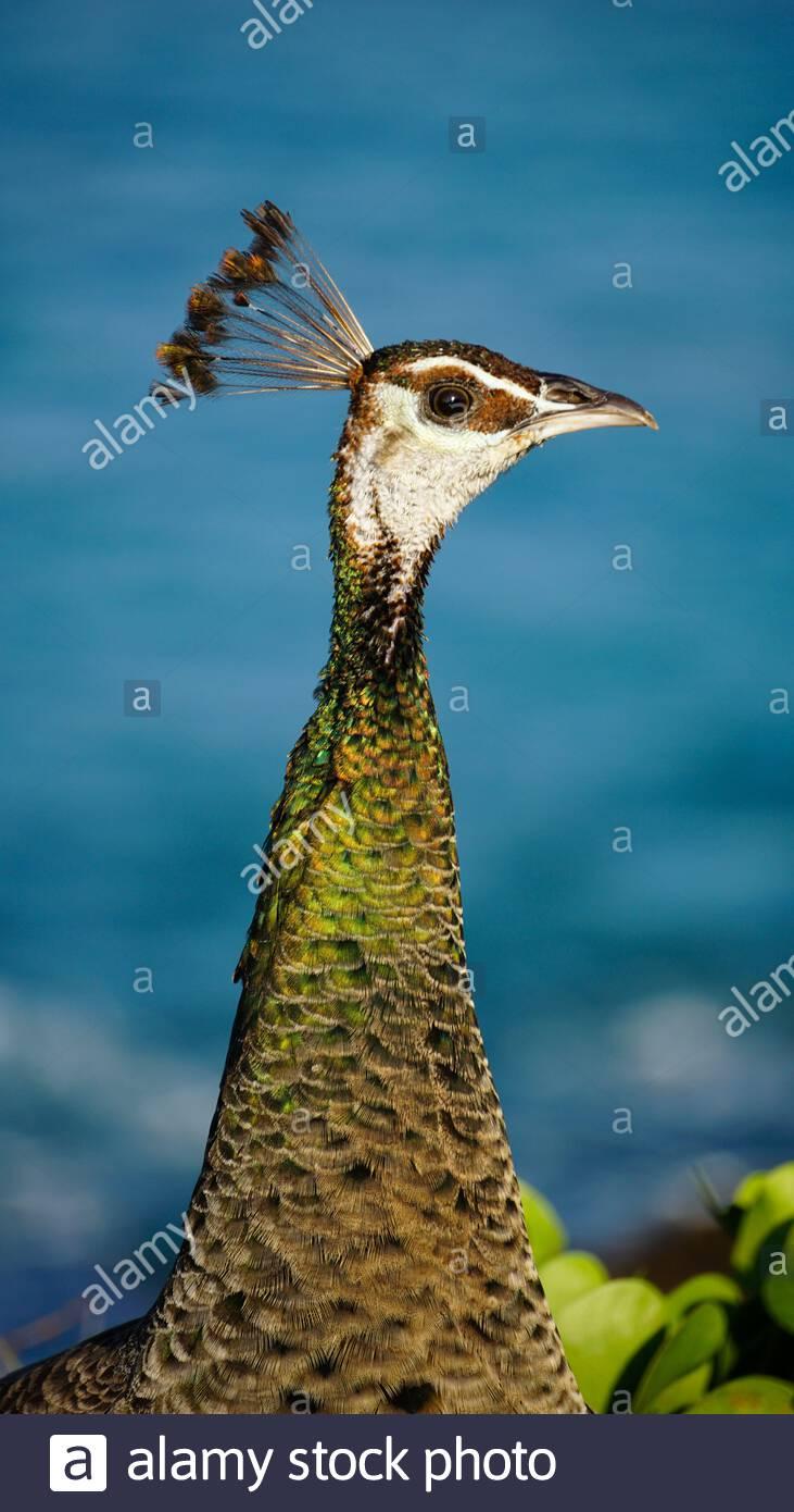 Close-up of a female peacock, Sri Lanka Stock Photo