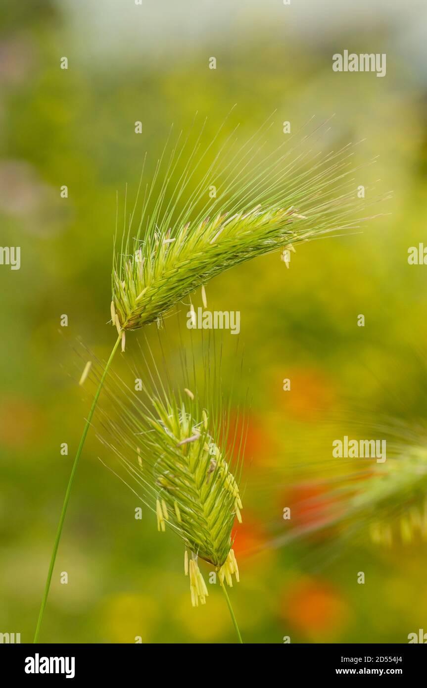 green spikes of graminaceae Stock Photo
