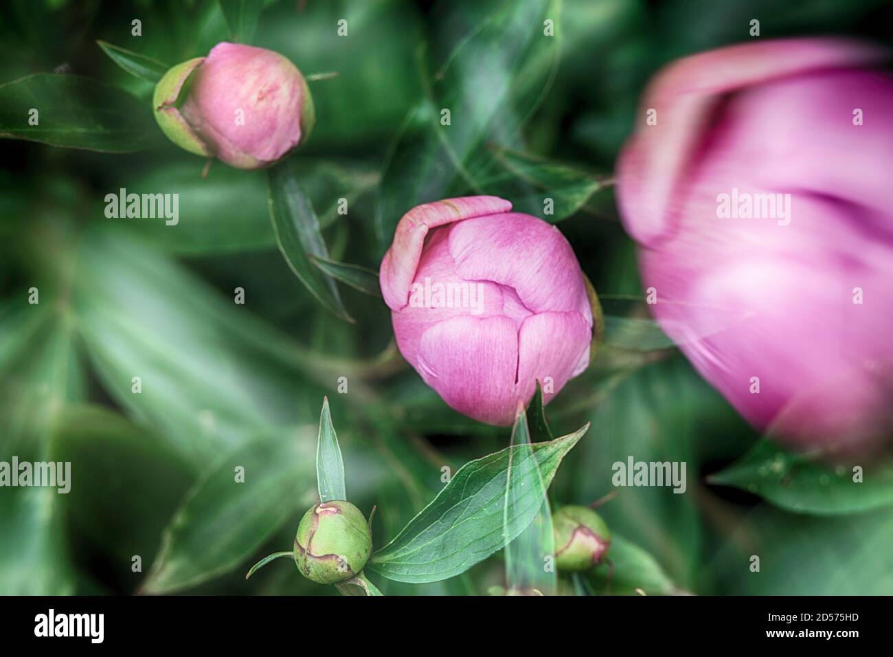 Pink peony buds on a background of green leaves. Blurred background. Abstract natural postcard or picture for wallpaper. Stock Photo