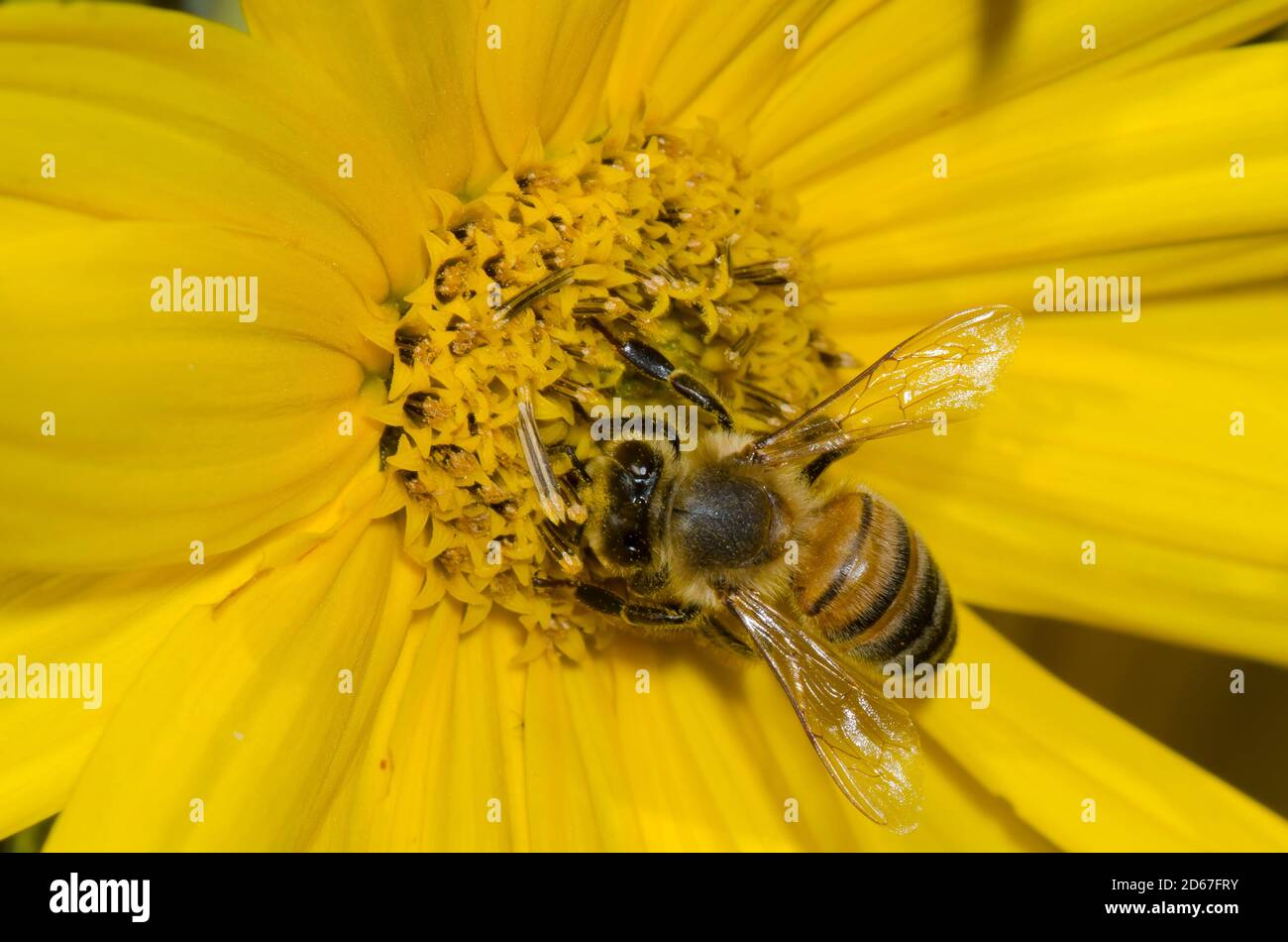 Honey Bee, Apis mellifera, foraging on Maximilian sunflower, Helianthus maximiliani Stock Photo