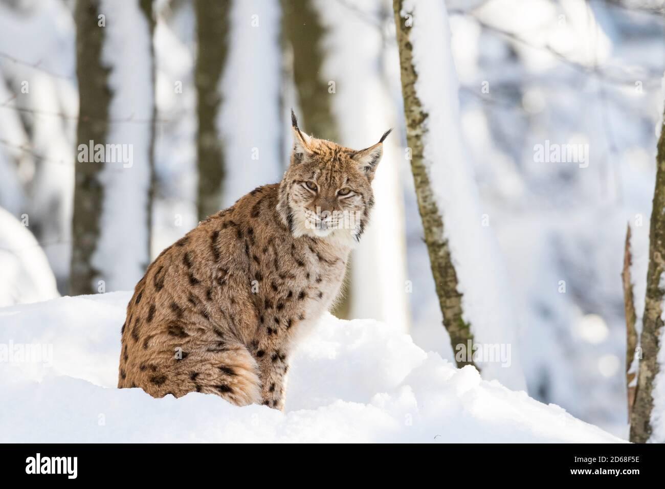 Eurasian lynx (Lynx lynx )  during winter in  National Park Bavarian Forest (Bayerischer Wald). Europe, Central Europe, Germany, Bavaria, January Stock Photo