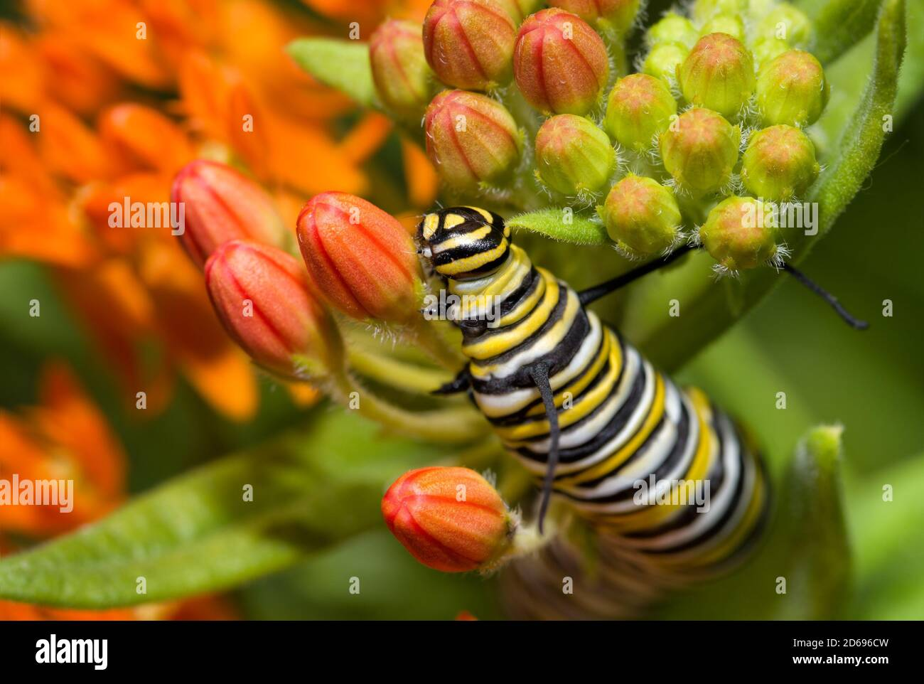 Closeup of a large Monarch butterfly caterpillar feeding on bright orange Butterflyweed buds in summer Stock Photo
