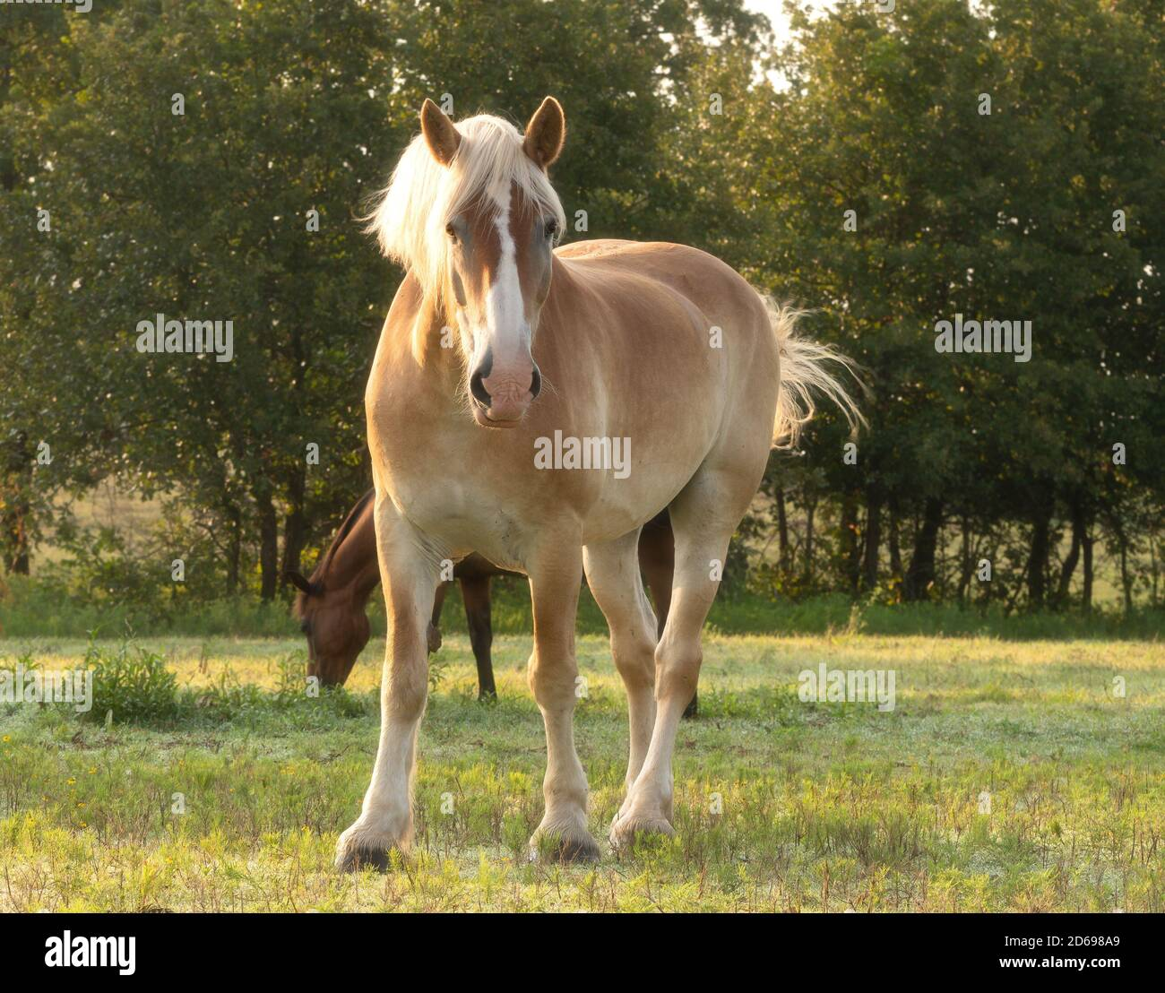 Light Draft Horse High Resolution Stock Photography And Images Alamy