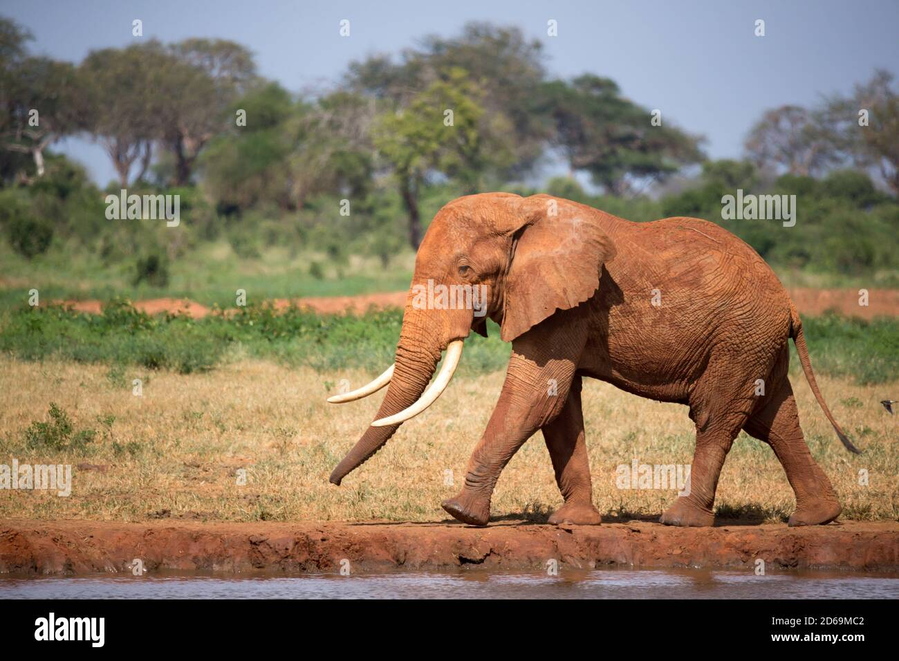 One big red elephant is walking on the bank of a water hole. Stock Photo