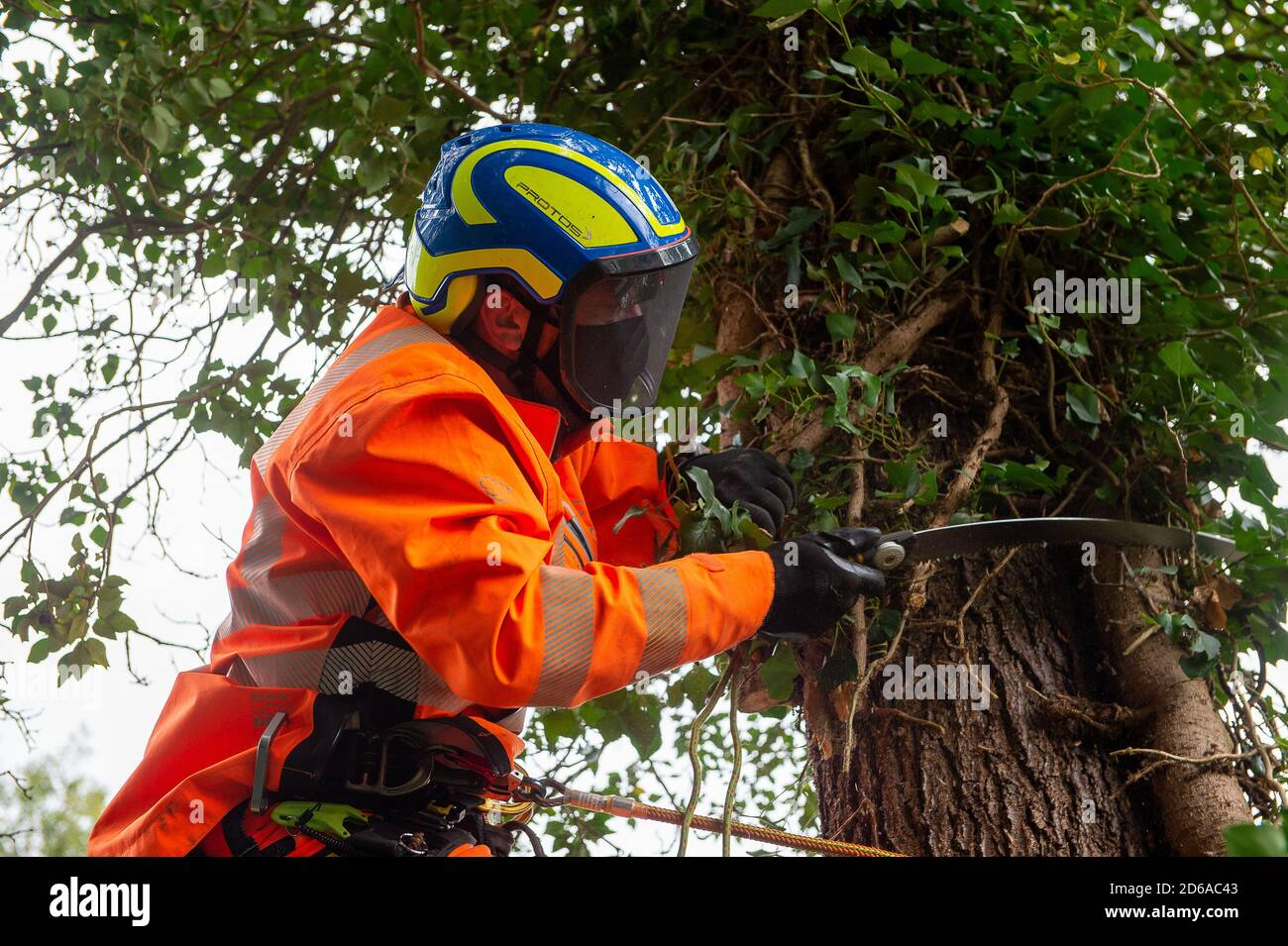 Denham, UK. 15th October, 2020. A tree cutter cuts ivy off a high mature tree ready for it's likely destruction inside an HS2 compound. The tree is on the other side of a high security fence next to the Denham Ford Protection Camp where environmental campaigners are living high in the trees protecting them from the clutches of HS2. The HS2 construction for the controversial High Speed Rail from London to Birmingham raises great concerns for environmental activists due to the impact the project is having on the countryside and woodlands. Credit: Maureen McLean/Alamy Stock Photo