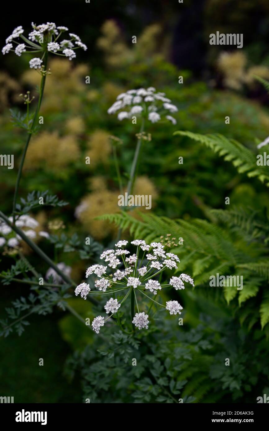 ammi majus,queen anne's lace,flowers,flower,flowering,white,mix,mixed,combination,mixed planting scheme,RM Floral Stock Photo