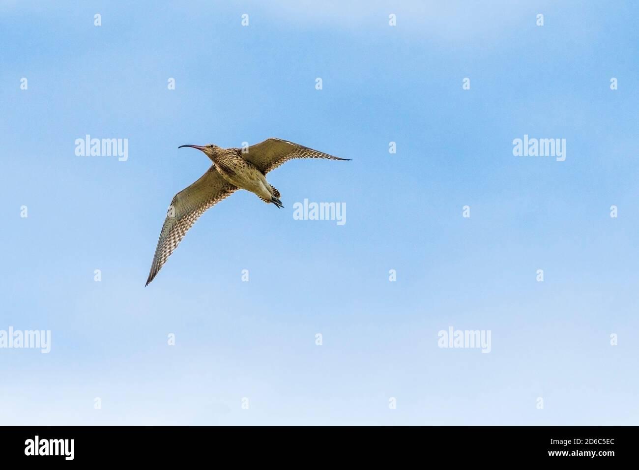 A Curlew Numenius arquata in flight. Stock Photo