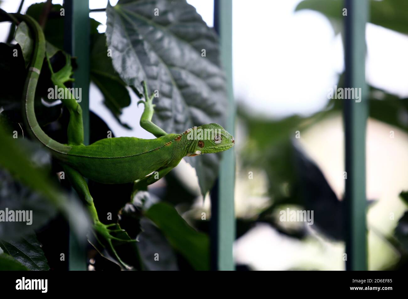 Valencia, Carabobo, Venezuela. 16th Oct, 2020. Caption:October 16, 2020. A small baby green iguana, better known as the common iguana, which belongs to the iguanidae family, walks between the fence of a house and the bushes in the garden. In Valencia, Carabobo, Venezuela - Photo: Juan Carlos Hernandez Credit: Juan Carlos Hernandez/ZUMA Wire/Alamy Live News Stock Photo