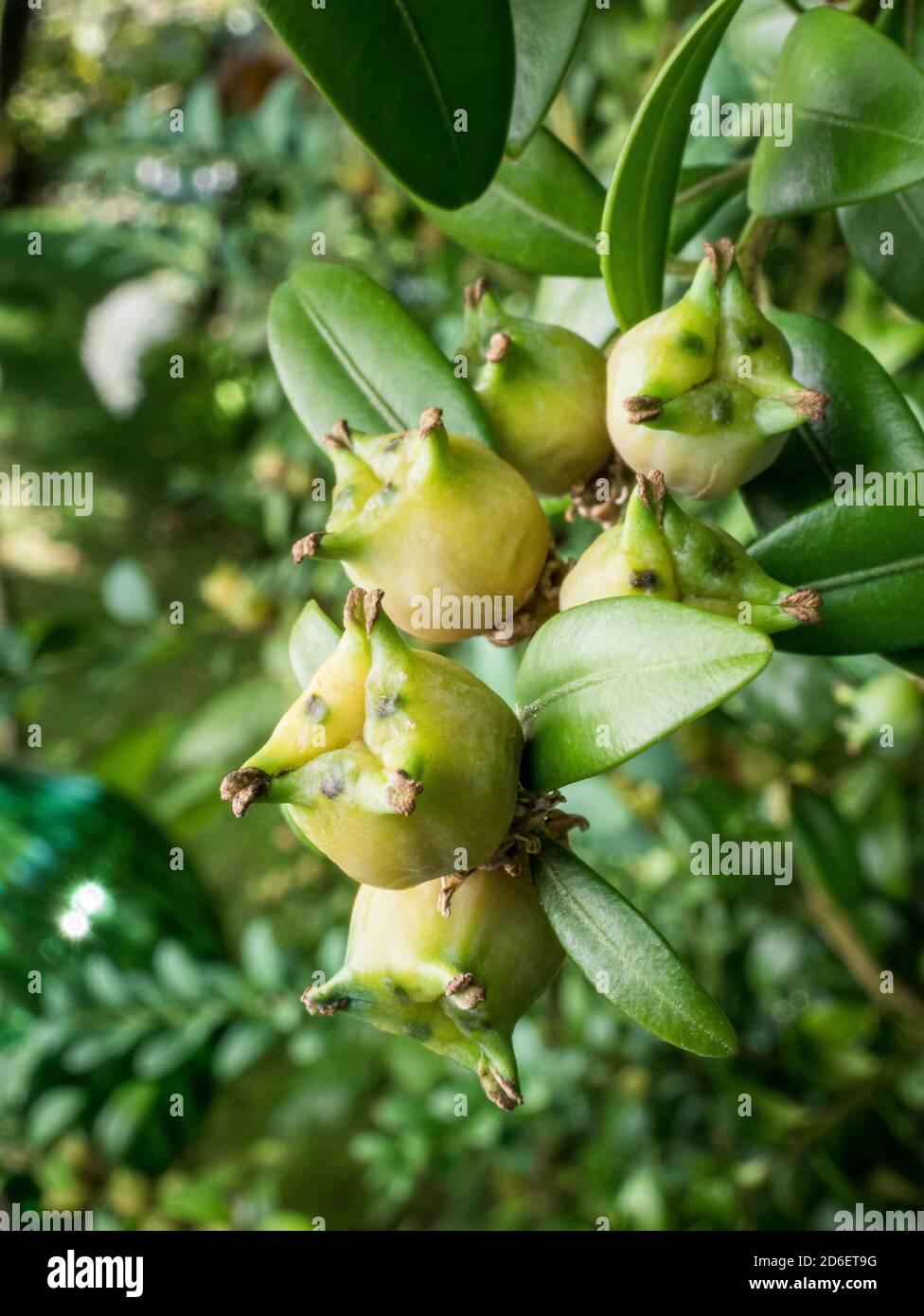 Common boxwood (Buxus sempervirens), fruits, close-up, Bavaria Germany, Europe Stock Photo