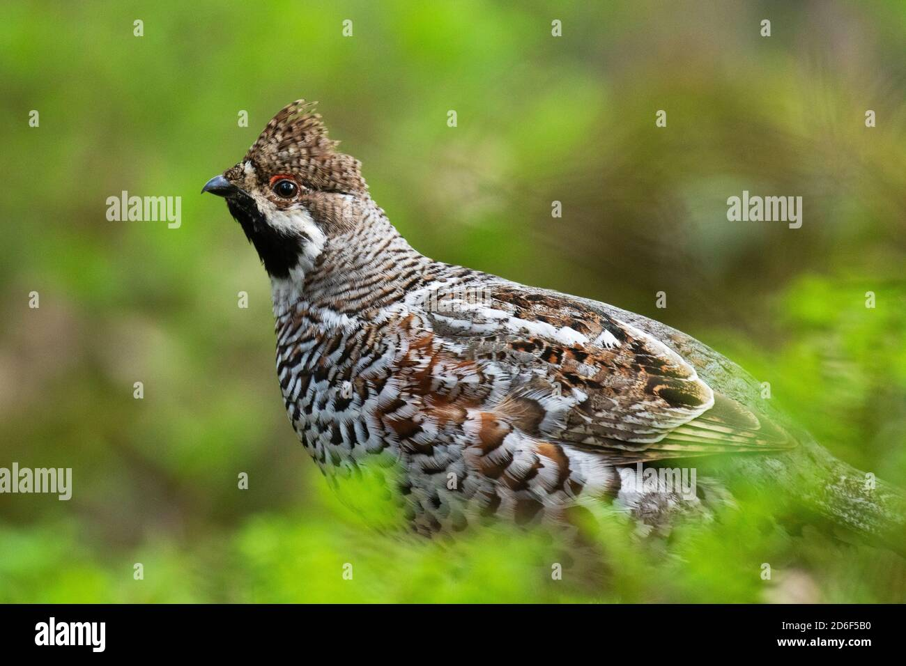 A male Hazel grouse (Tetrastes bonasia) with a raised crest feathers in a green, lush and old boreal forest during spring breeding season in Estonia, Stock Photo