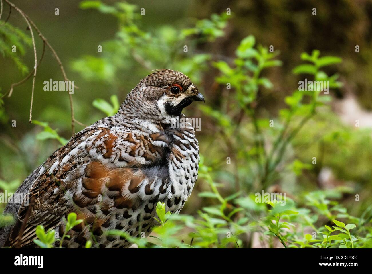 A male Hazel grouse, Tetrastes bonasia in a green, lush and old boreal forest during spring breeding season in Estonia, Northern Europe. Stock Photo