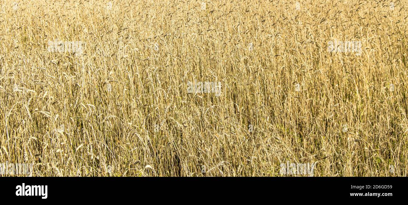Wheat field with Golden ears. Rural landscape under bright sunlight. Background of the ripening ears of wheat field. The concept of a rich harvest Stock Photo
